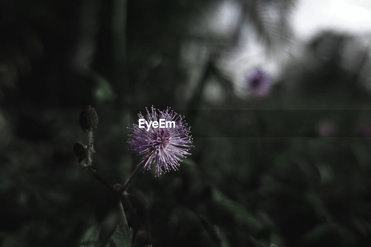 flower, fragility, growth, nature, purple, plant, flower head, beauty in nature, freshness, petal, close-up, outdoors, no people, blooming, thistle, day
