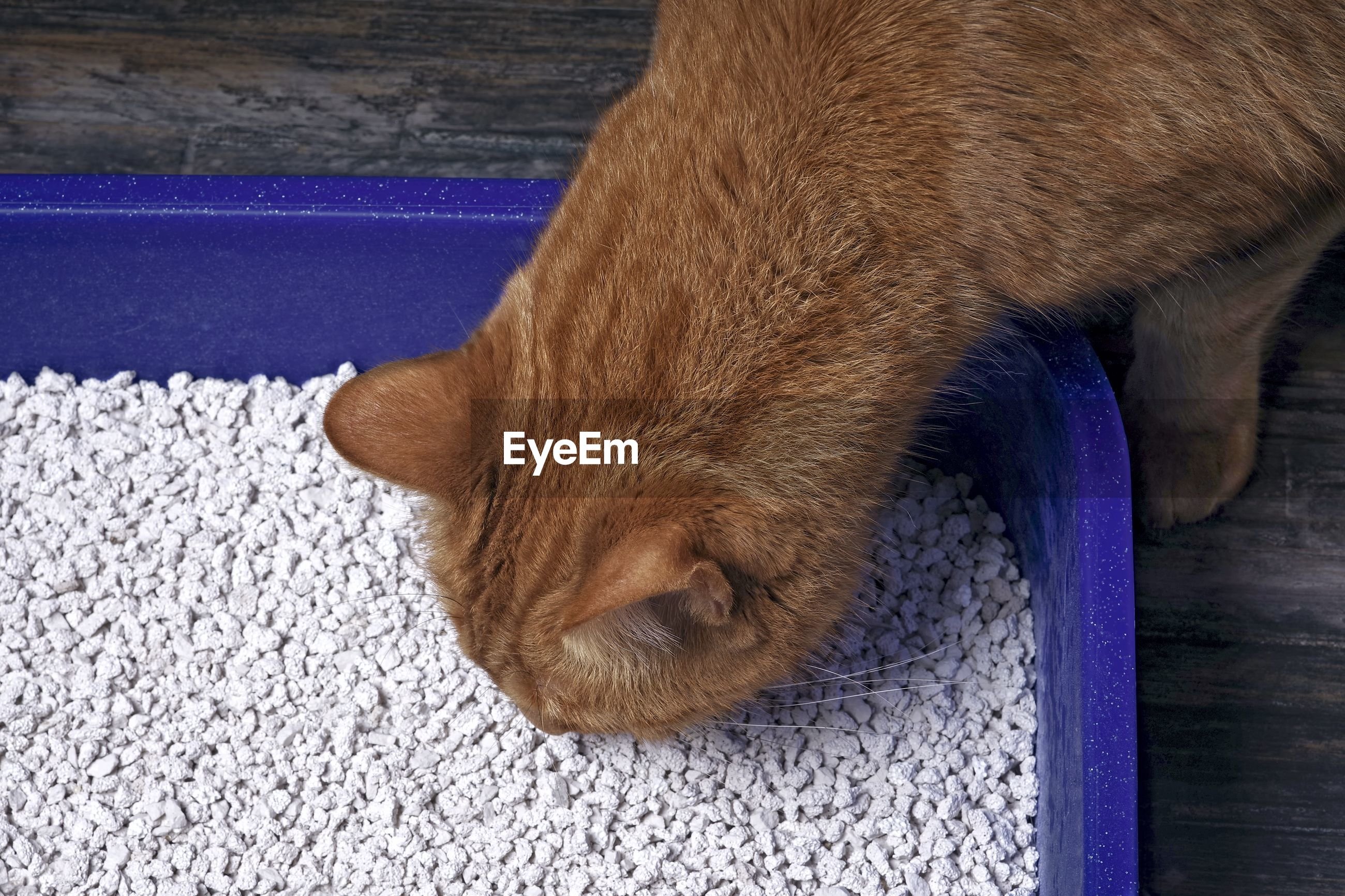 Close up of a tabby cat going into a blue litter box.