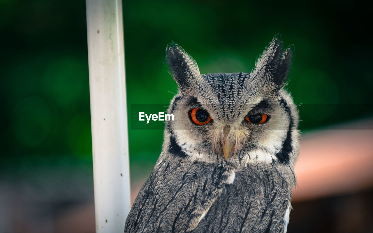 Portrait Of Whitefaced Owl