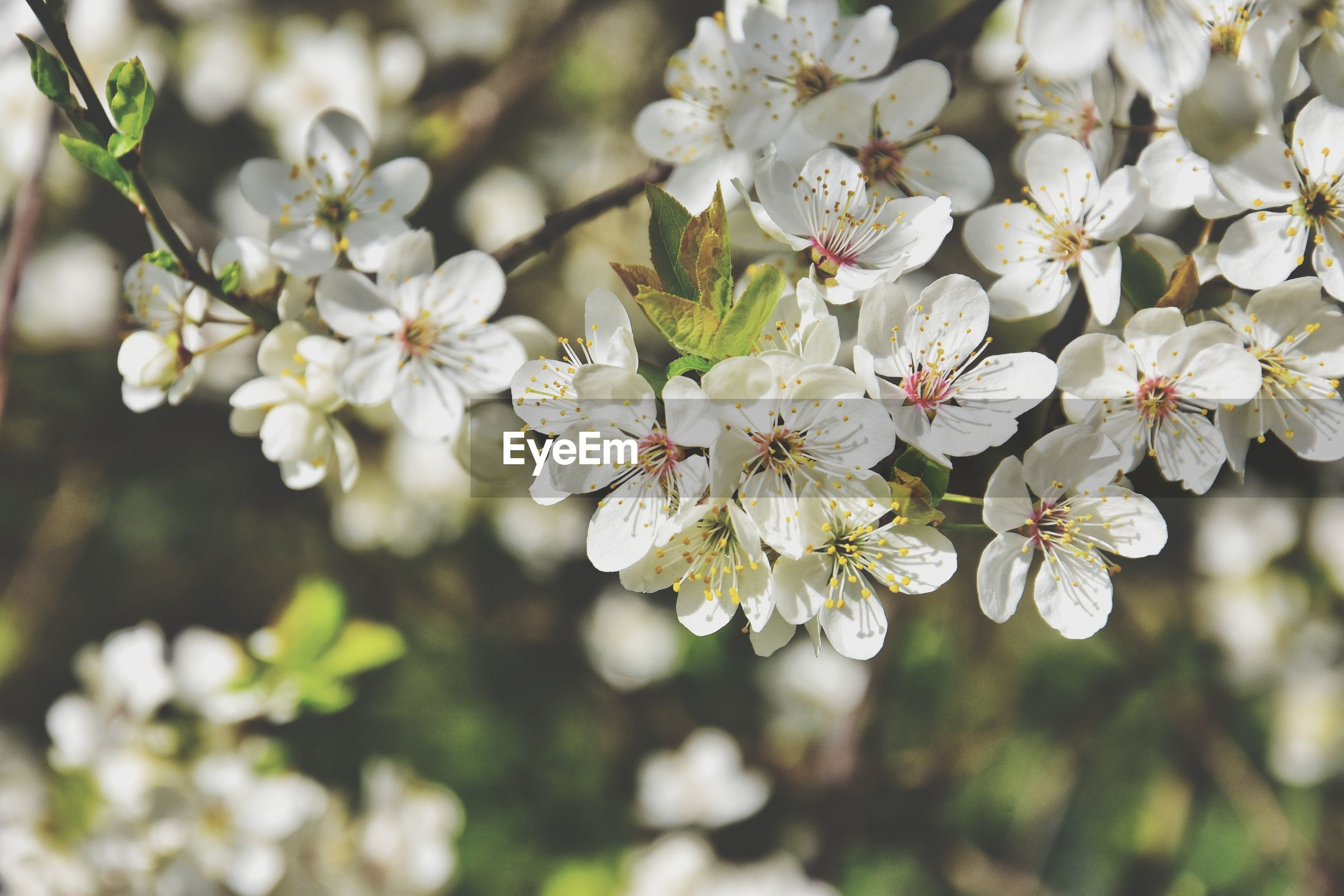 White blooming tree branch