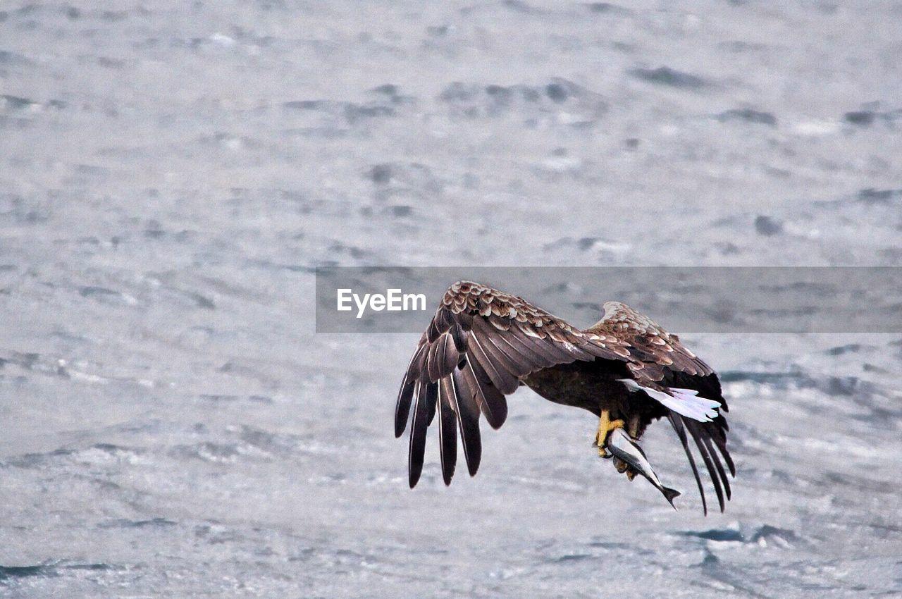 Eagle Holding Fish Over Sea