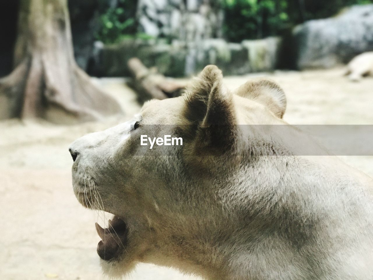 one animal, animal themes, mammal, animals in the wild, animal head, day, relaxation, no people, focus on foreground, outdoors, close-up, animal wildlife, nature, domestic animals