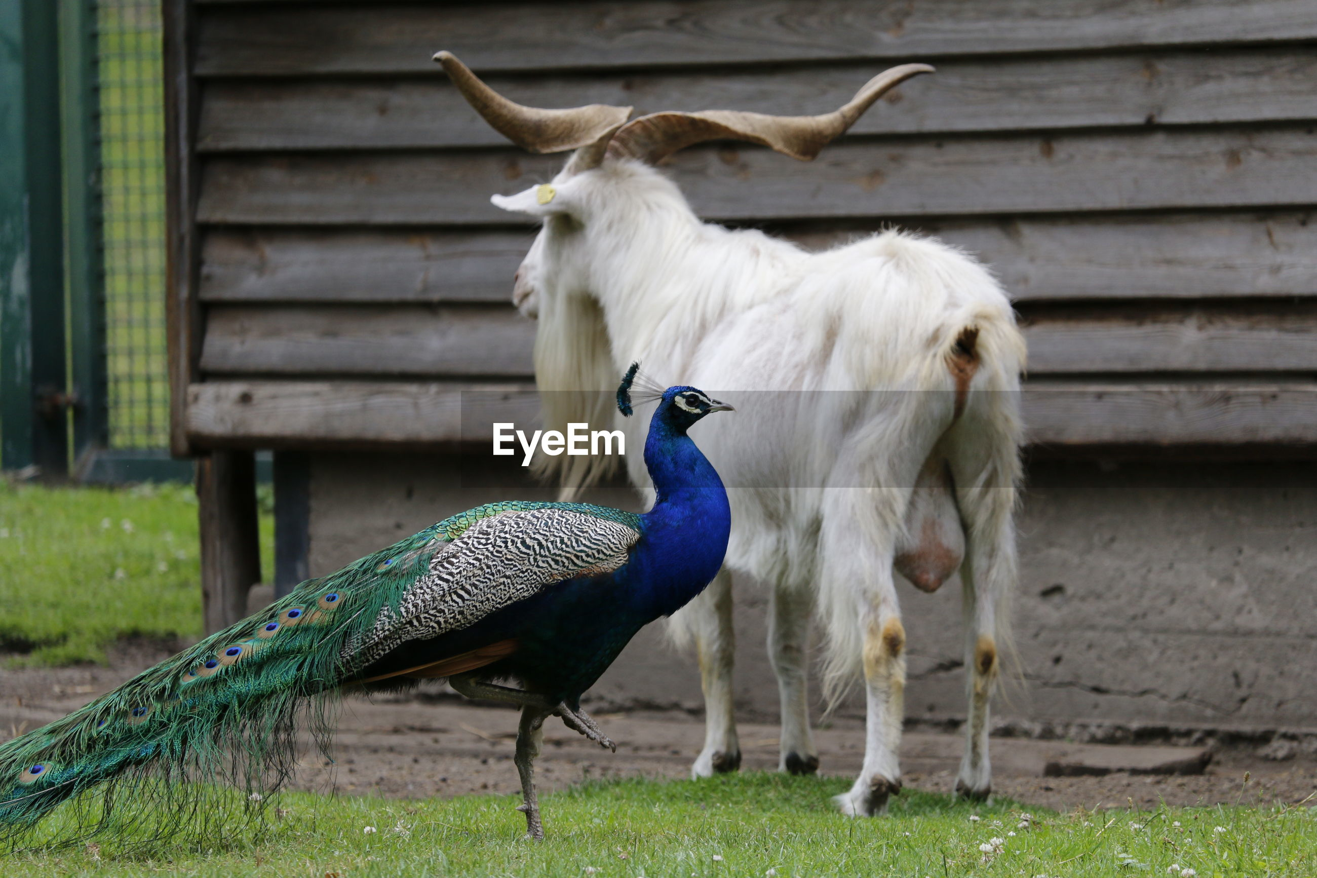 Peacock with goat on field against wall