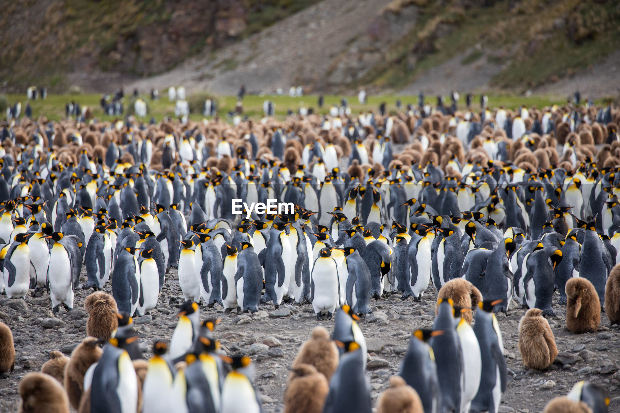 Penguin colony on field