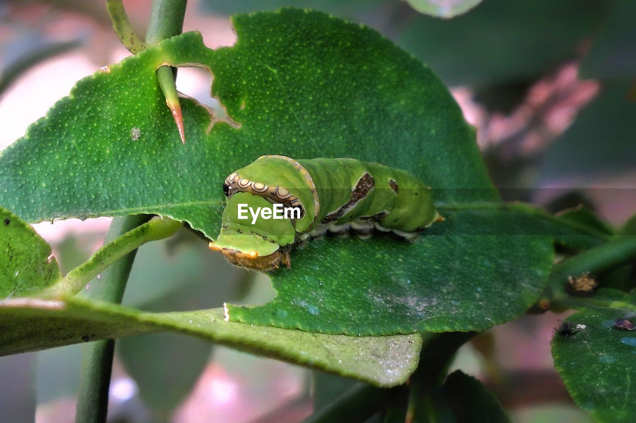green color, growth, plant, leaf, plant part, close-up, nature, no people, day, focus on foreground, beauty in nature, selective focus, outdoors, freshness, invertebrate, animal, animals in the wild, animal wildlife, animal themes, one animal