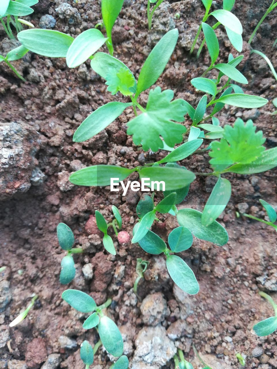growth, leaf, plant part, green color, plant, nature, high angle view, field, land, no people, day, beauty in nature, close-up, dirt, freshness, outdoors, tranquility, botany, vulnerability, fragility, plantation