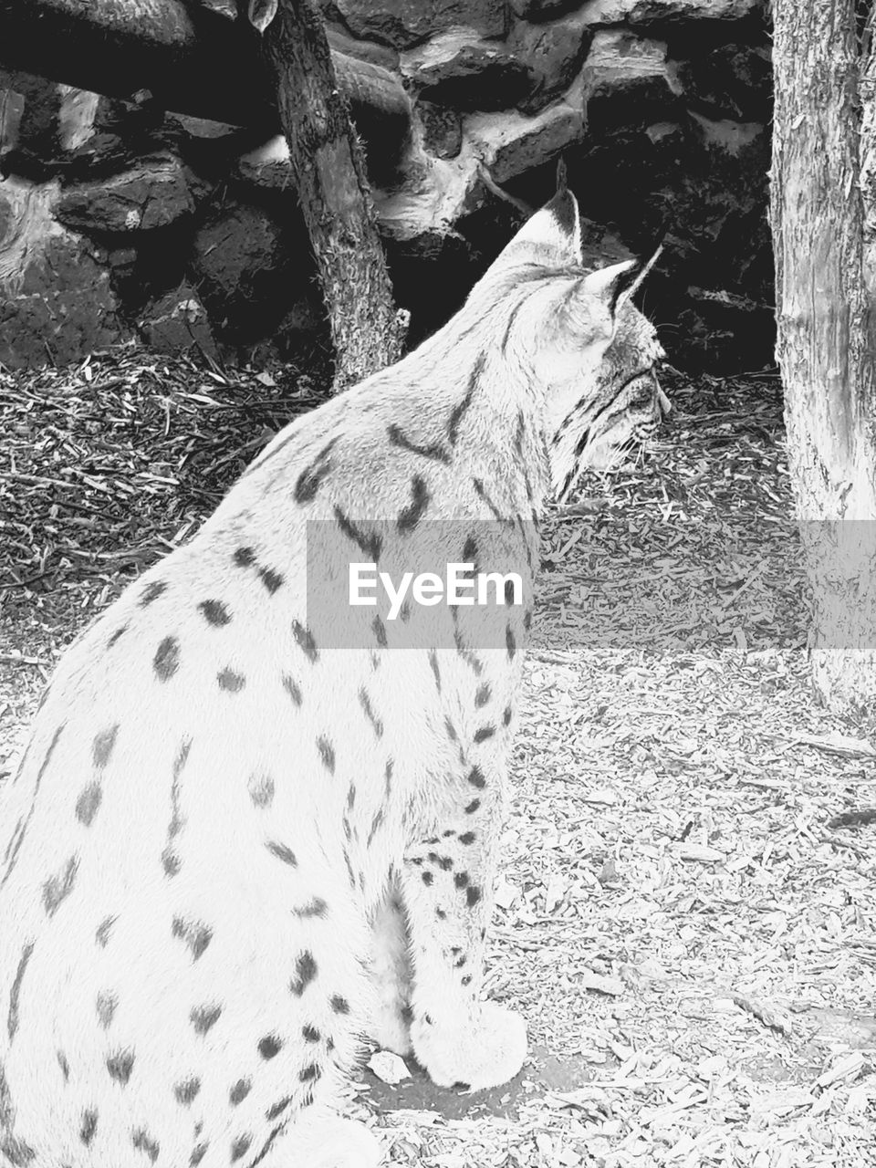 one animal, animal themes, mammal, day, no people, outdoors, animals in the wild, domestic animals, pets, close-up, leopard, nature