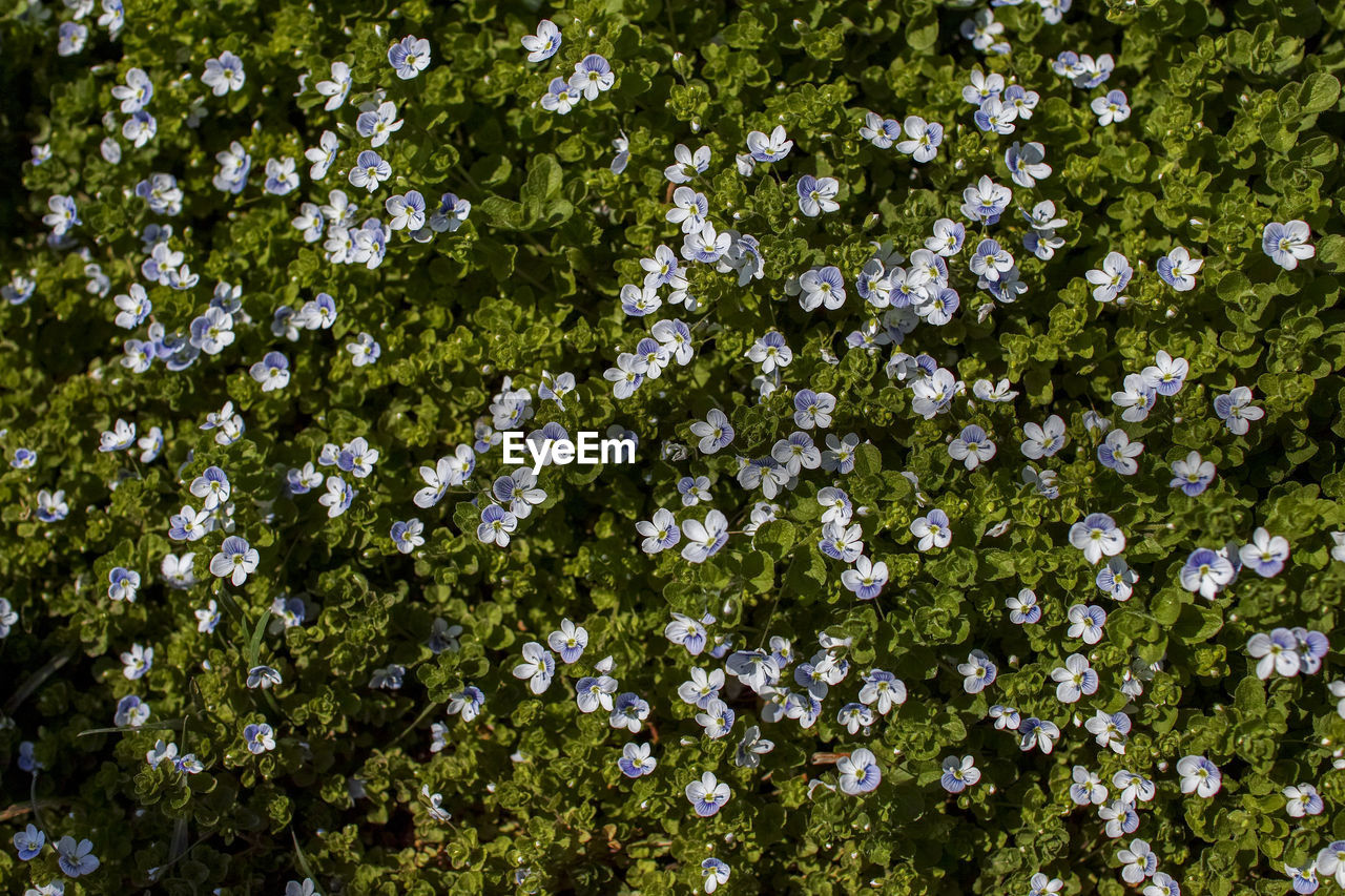 flowering plant, flower, plant, beauty in nature, growth, freshness, fragility, vulnerability, nature, no people, day, full frame, close-up, white color, backgrounds, flower head, outdoors, inflorescence, land, botany