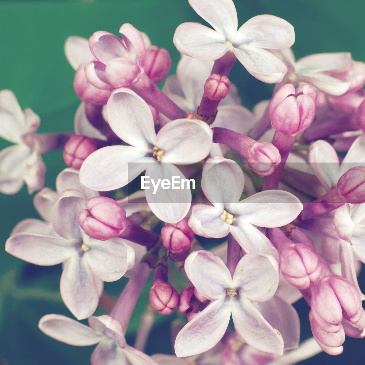flower, flowering plant, fragility, vulnerability, beauty in nature, petal, plant, close-up, flower head, inflorescence, freshness, growth, pink color, nature, no people, day, outdoors, botany, pollen, blossom, bunch of flowers, lilac