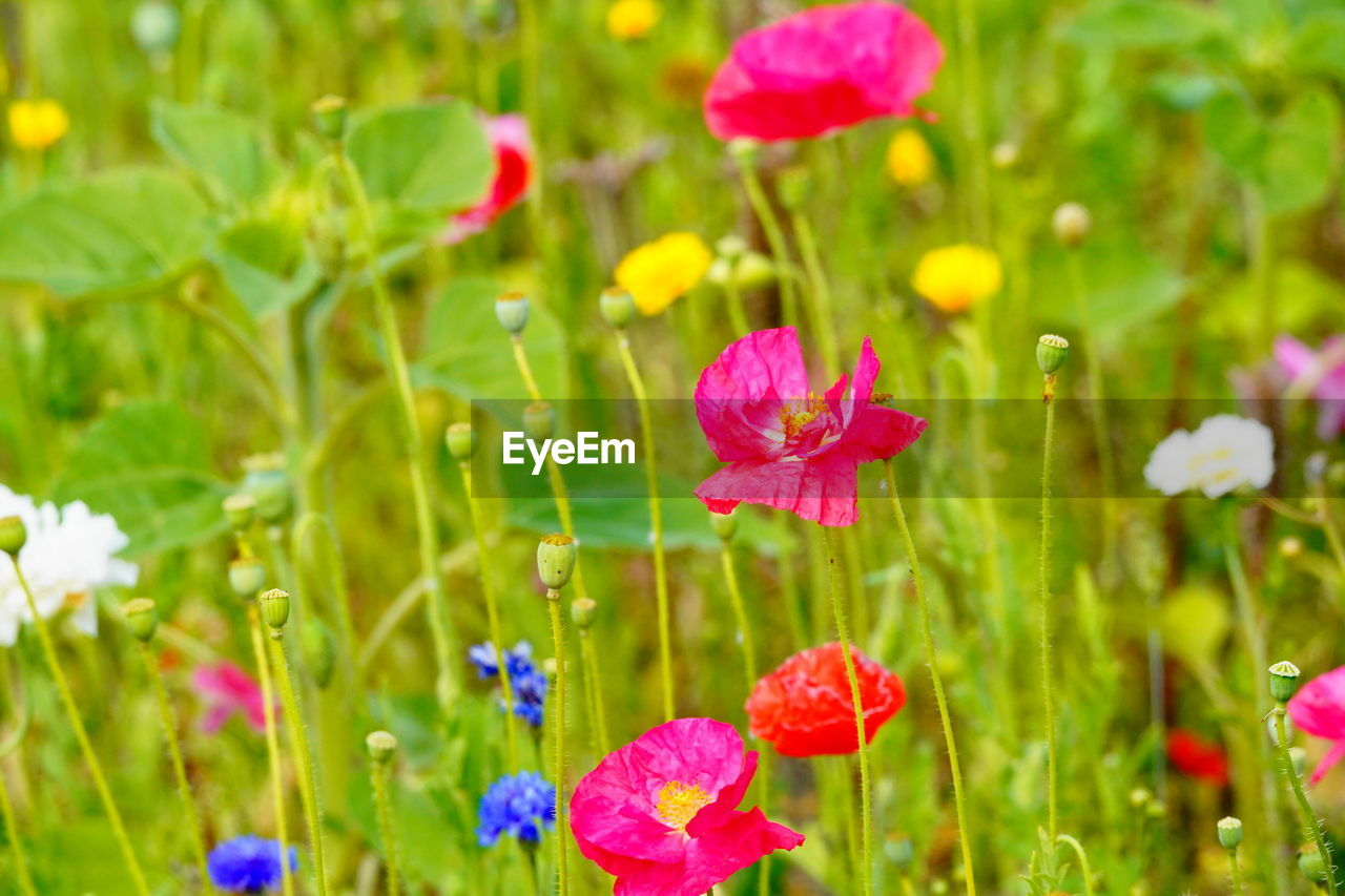 flower, flowering plant, plant, vulnerability, fragility, beauty in nature, growth, freshness, petal, pink color, close-up, inflorescence, flower head, nature, green color, no people, selective focus, day, land, focus on foreground, outdoors