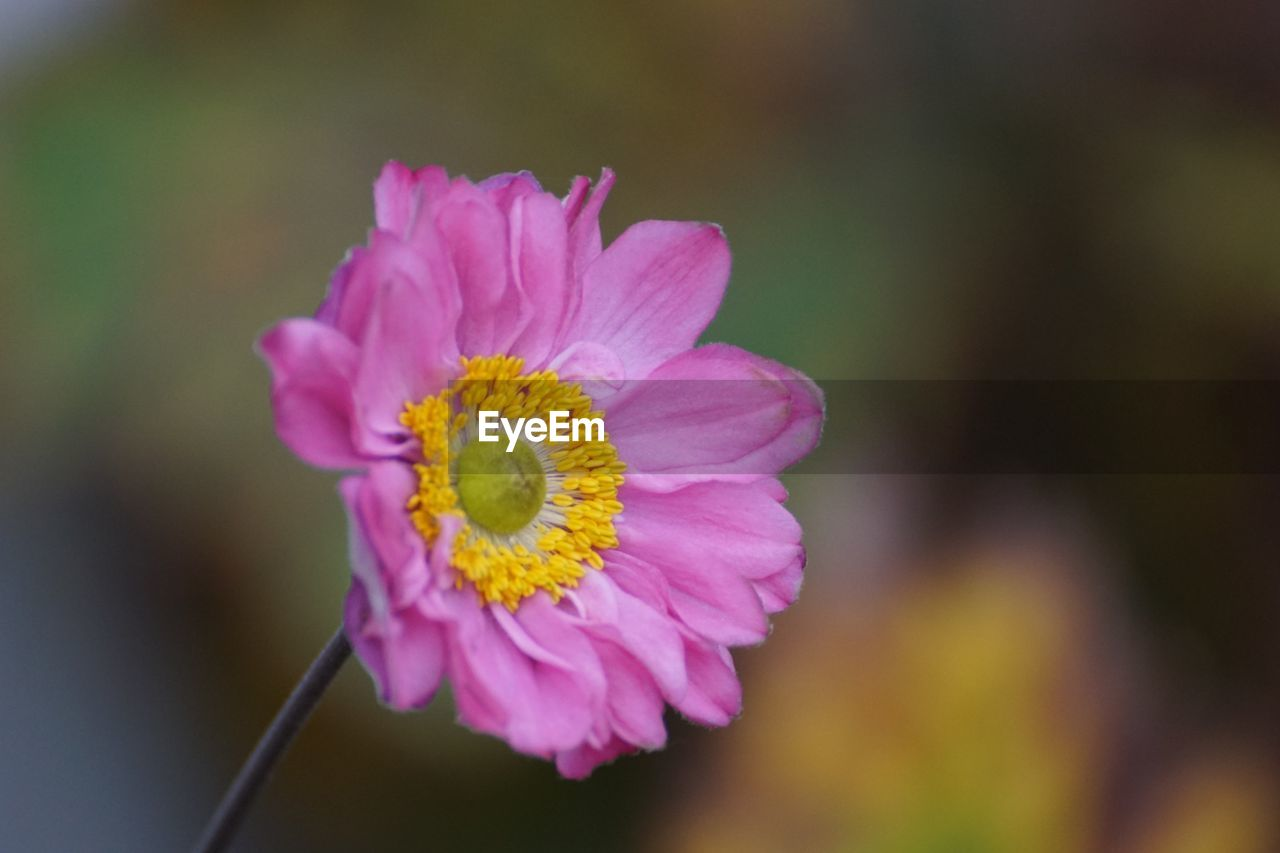 flower, flowering plant, fragility, vulnerability, plant, beauty in nature, petal, inflorescence, flower head, close-up, freshness, focus on foreground, growth, pink color, yellow, nature, day, outdoors, no people, pollen