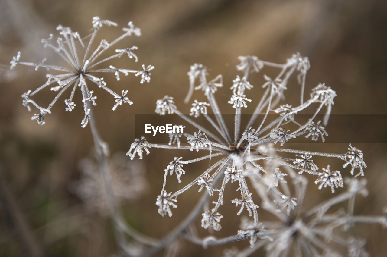 CLOSE-UP OF PLANT WITH FROZEN LEAF