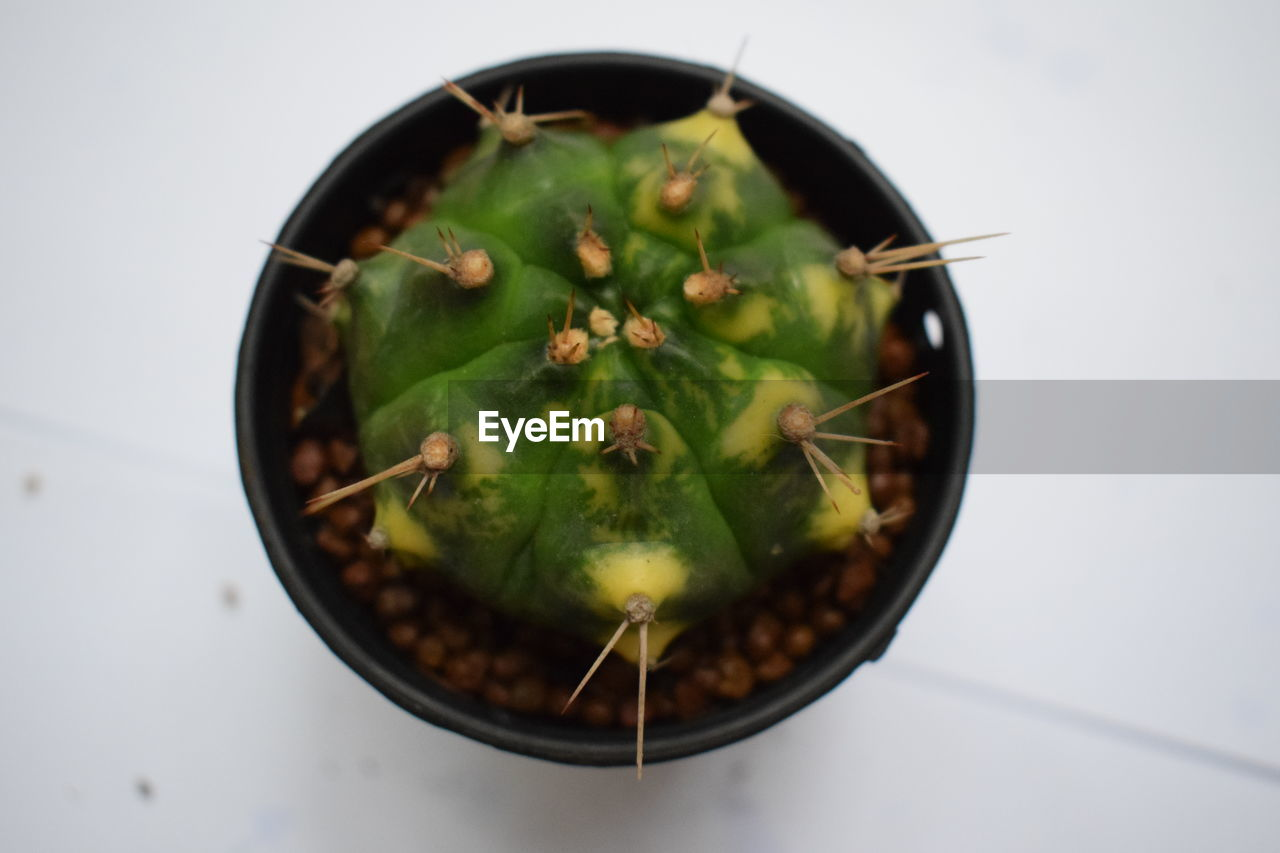 green color, growth, cactus, spiked, thorn, high angle view, no people, plant, freshness, focus on foreground, close-up, nature, indoors, food, white background, day