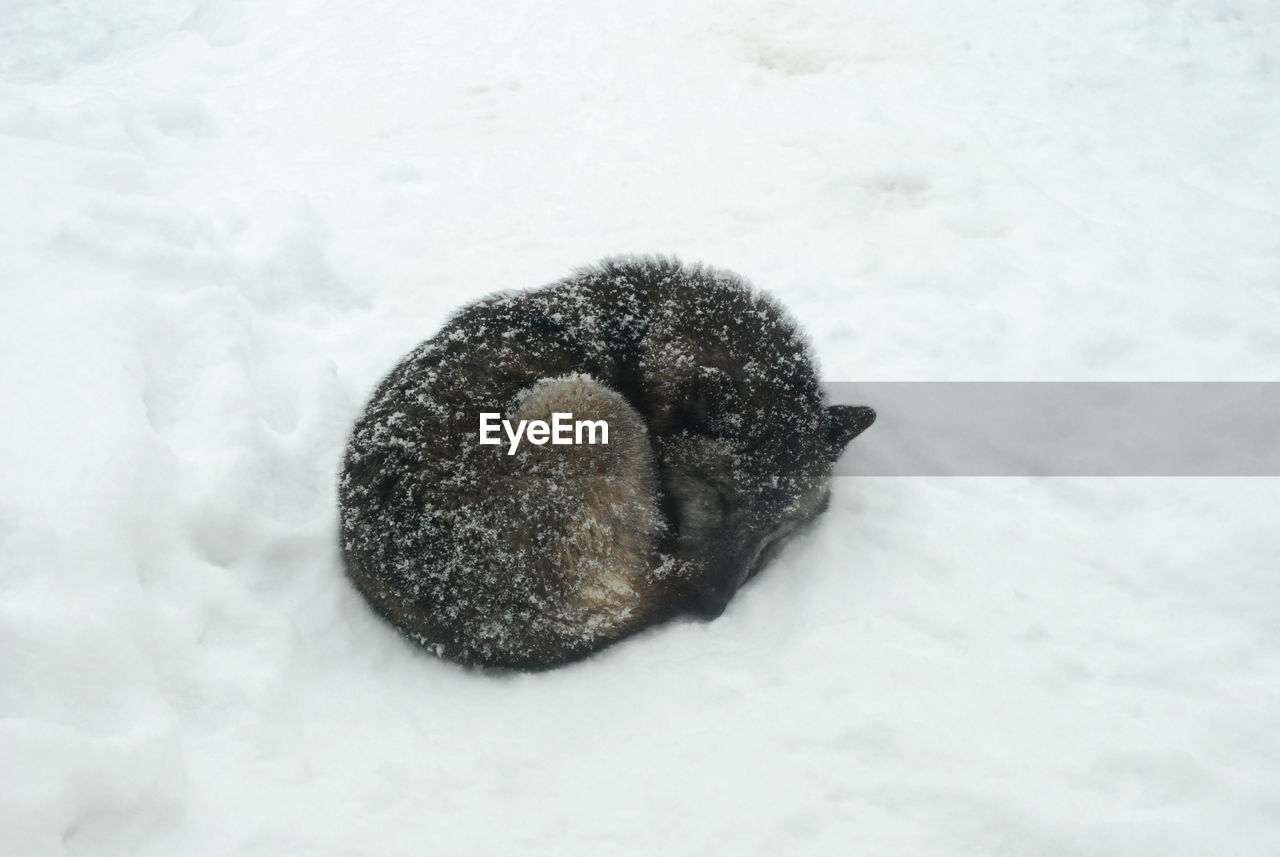 winter, snow, cold temperature, animal themes, animal, no people, one animal, mammal, close-up, nature, animal wildlife, animals in the wild, high angle view, field, animal body part, domestic animals, domestic, pets, vertebrate, animal head, snowing