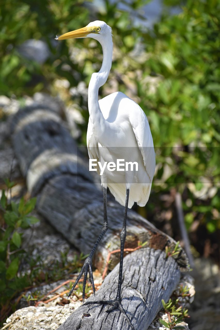 animals in the wild, animal themes, white color, one animal, bird, animal wildlife, day, great egret, focus on foreground, outdoors, nature, heron, perching, no people, egret, full length, crane - bird, beauty in nature, gray heron, close-up