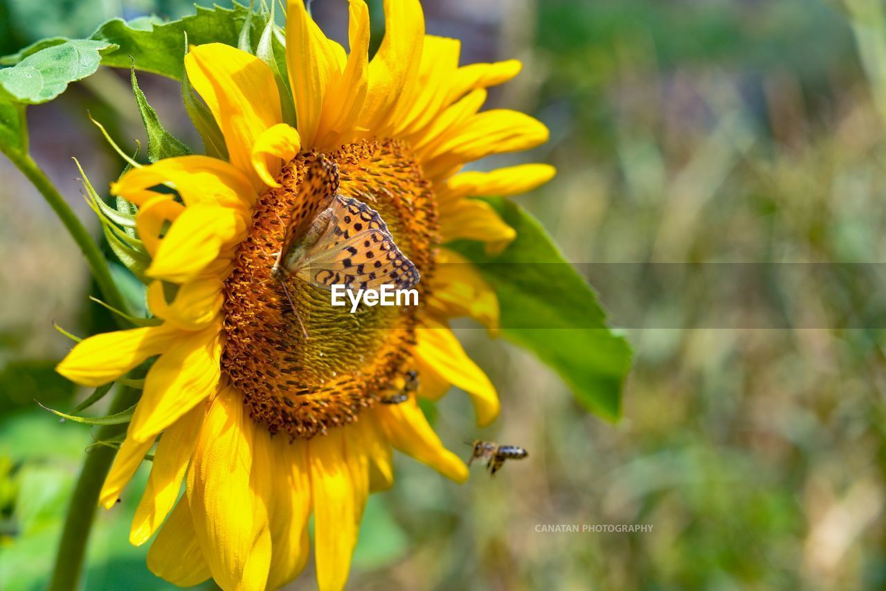 flower, yellow, petal, one animal, beauty in nature, animal themes, nature, fragility, animals in the wild, flower head, insect, plant, growth, day, outdoors, animal wildlife, close-up, focus on foreground, freshness, no people, blooming, pollination