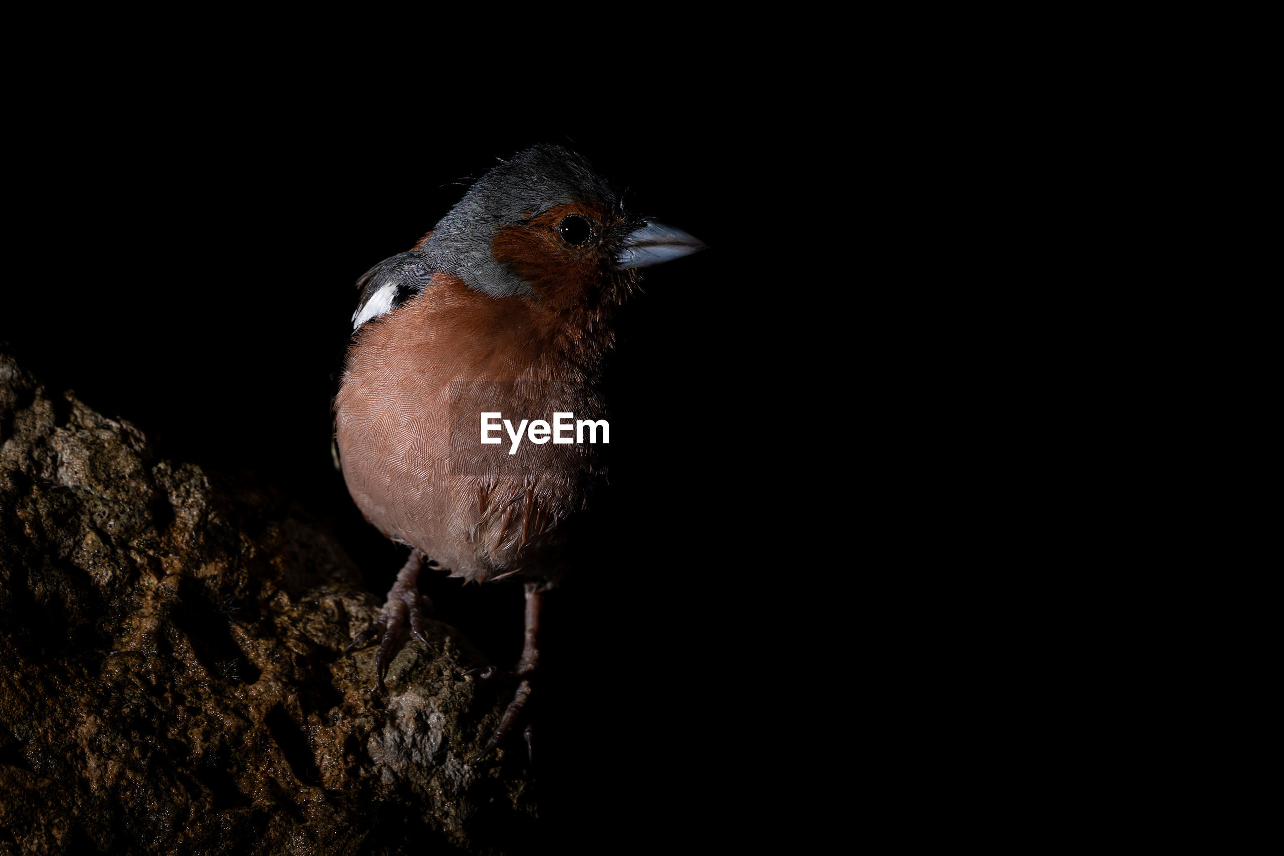 CLOSE-UP OF A BIRD PERCHING ON A BLACK BACKGROUND