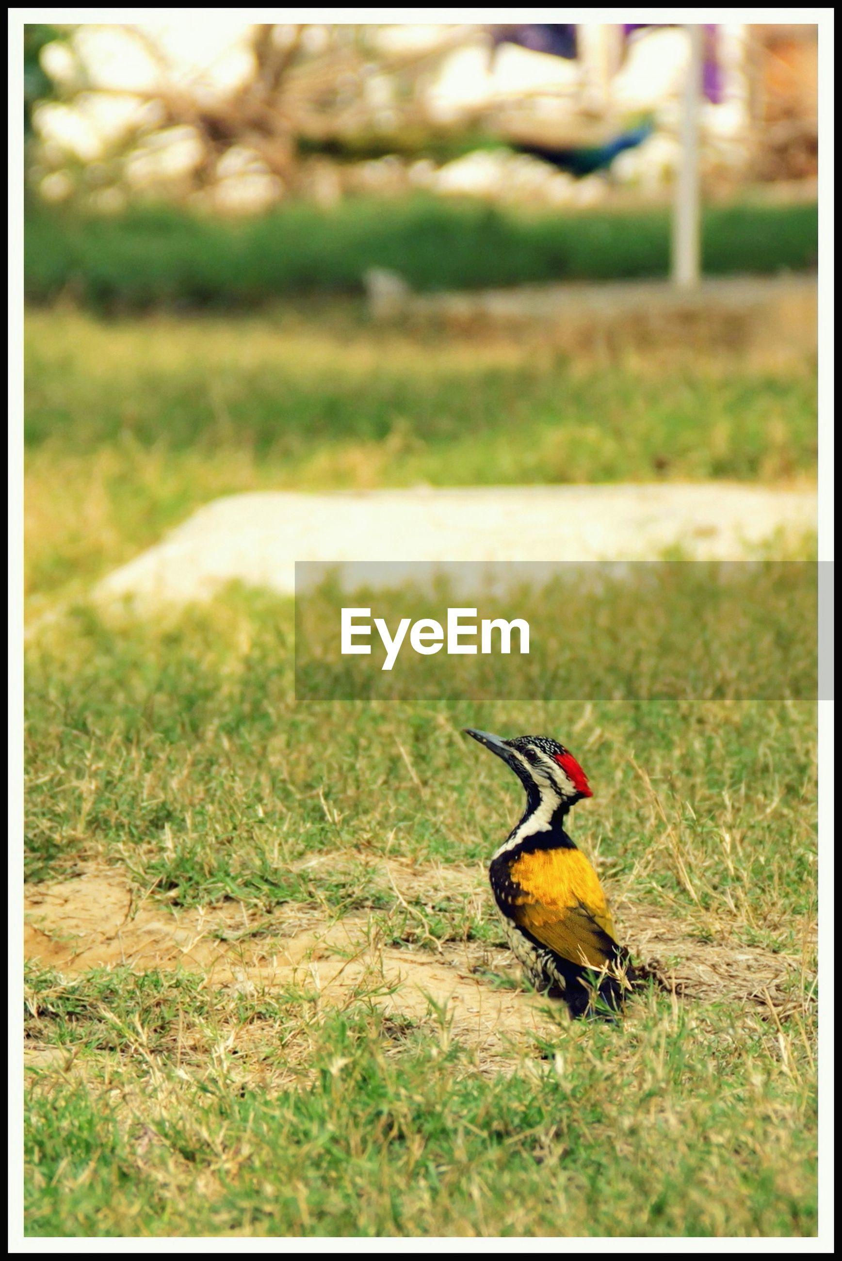 Side view of bird on grass field