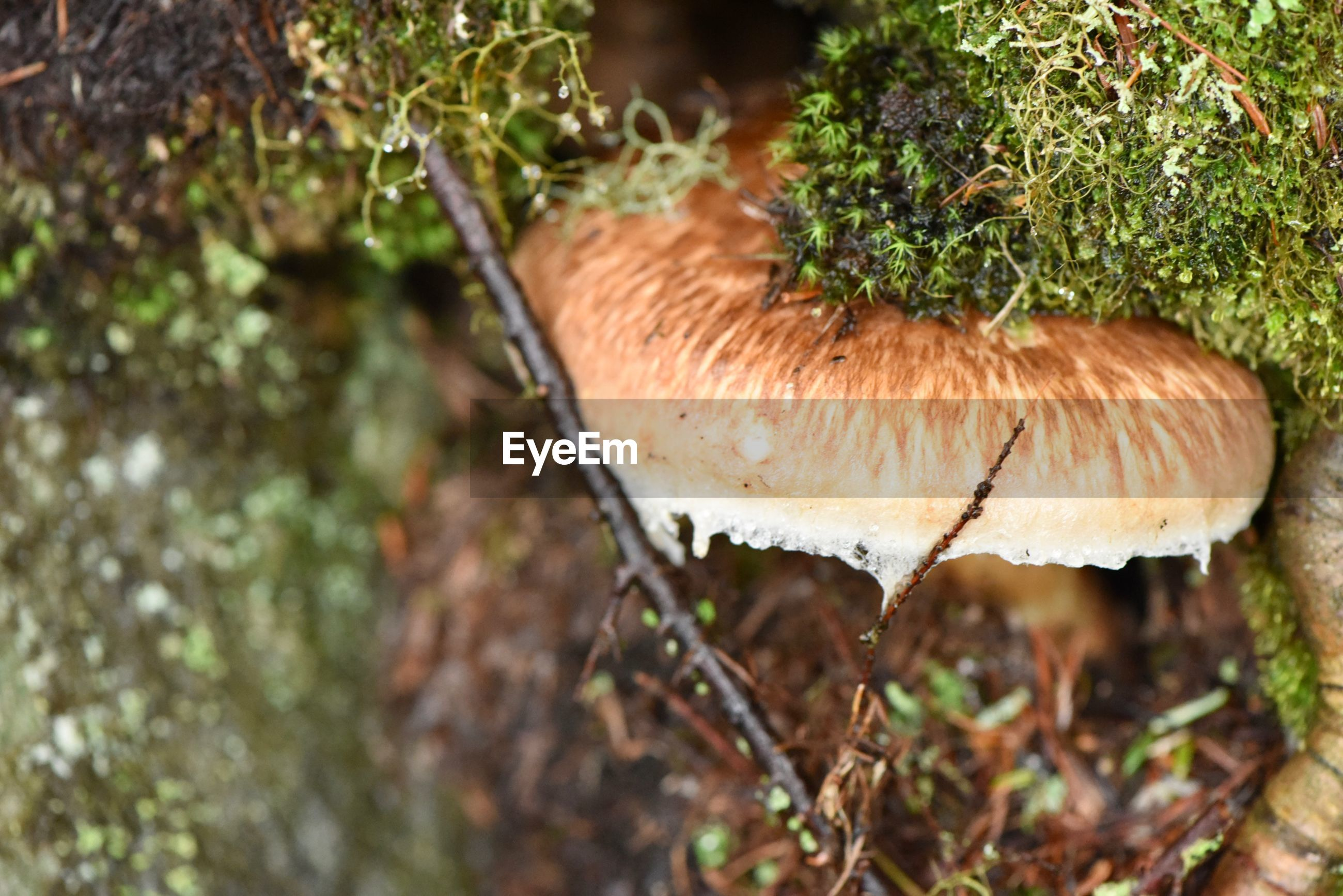 mushroom, fungus, vegetable, plant, food, growth, close-up, nature, day, toadstool, no people, beauty in nature, edible mushroom, land, food and drink, outdoors, selective focus, tree, moss, field
