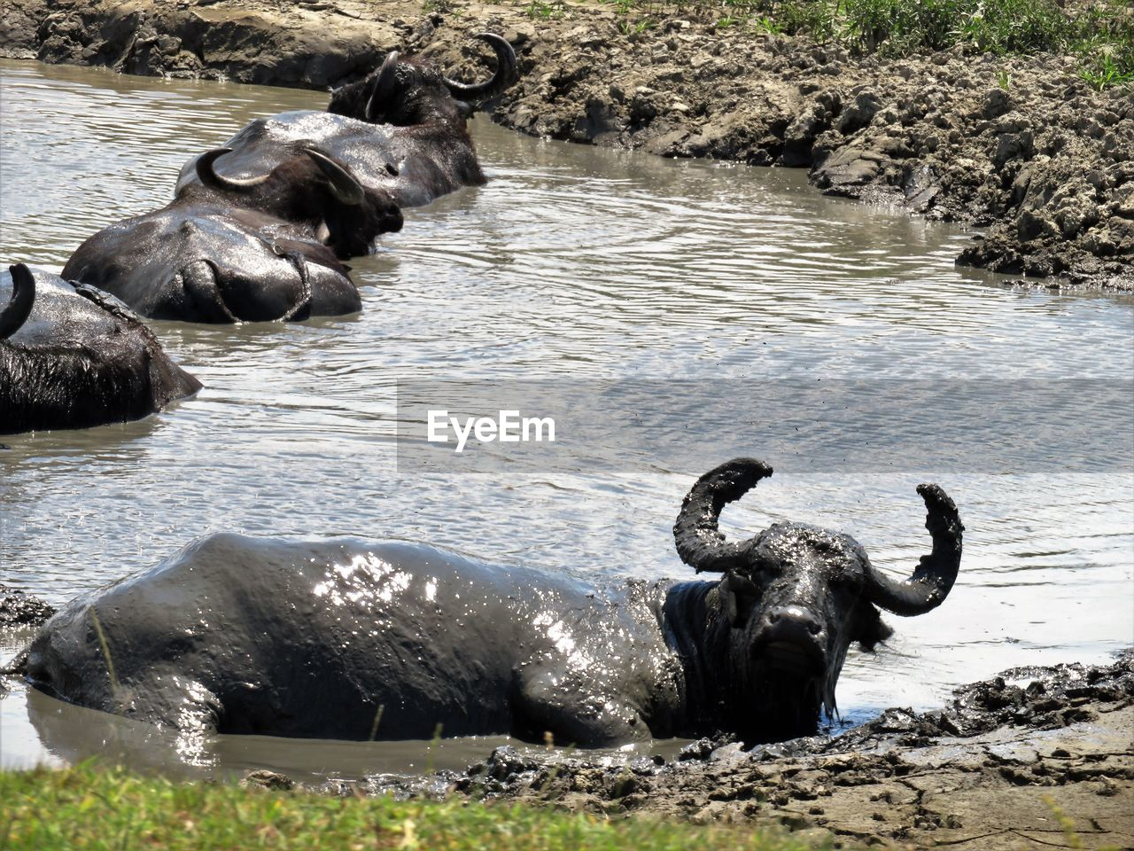 animal, animal themes, water, mammal, group of animals, vertebrate, animal wildlife, day, domestic animals, buffalo, no people, nature, animals in the wild, lake, domestic, pets, water buffalo, horned, outdoors, herbivorous