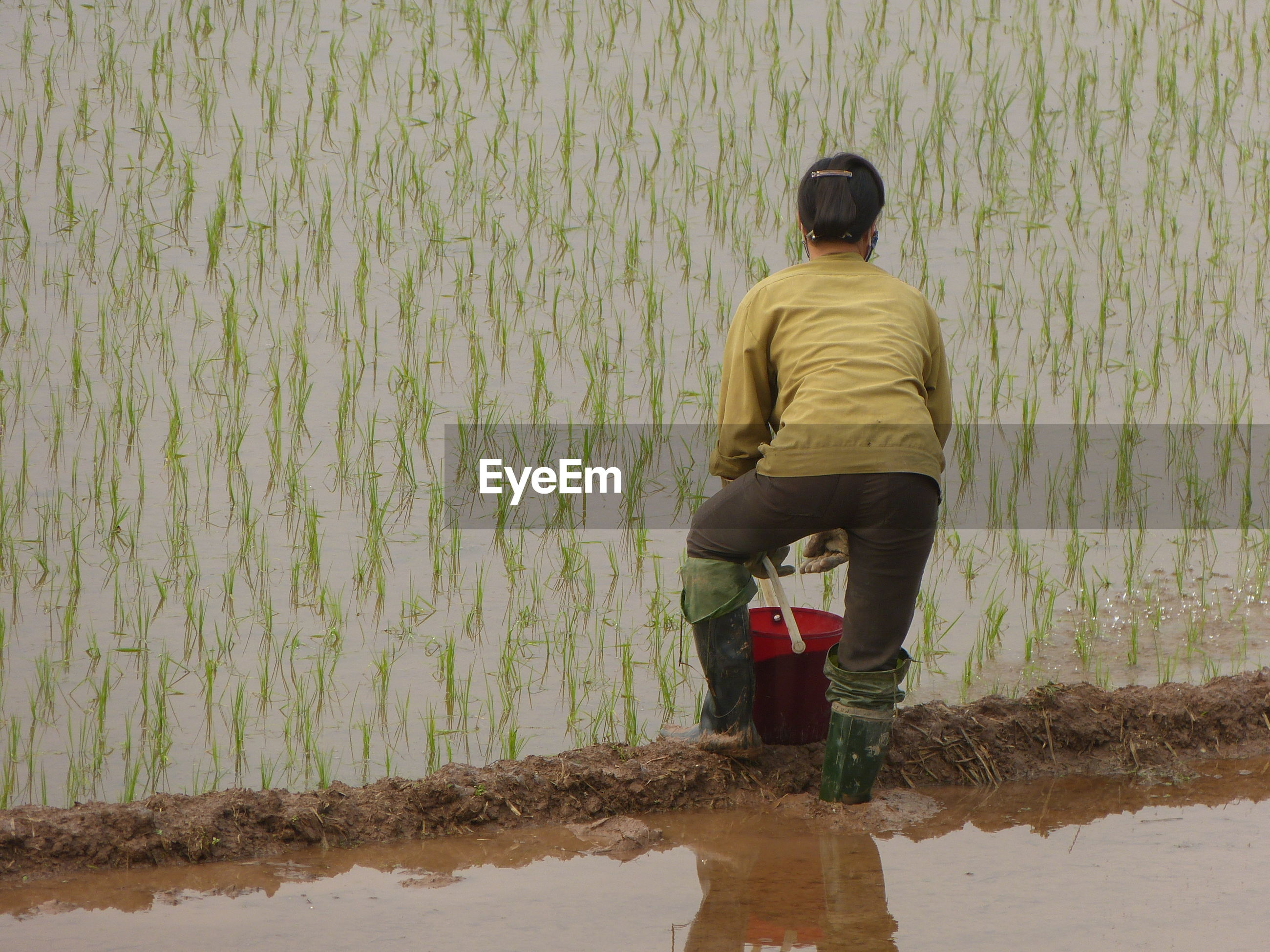 Rear view of woman working on rice paddy