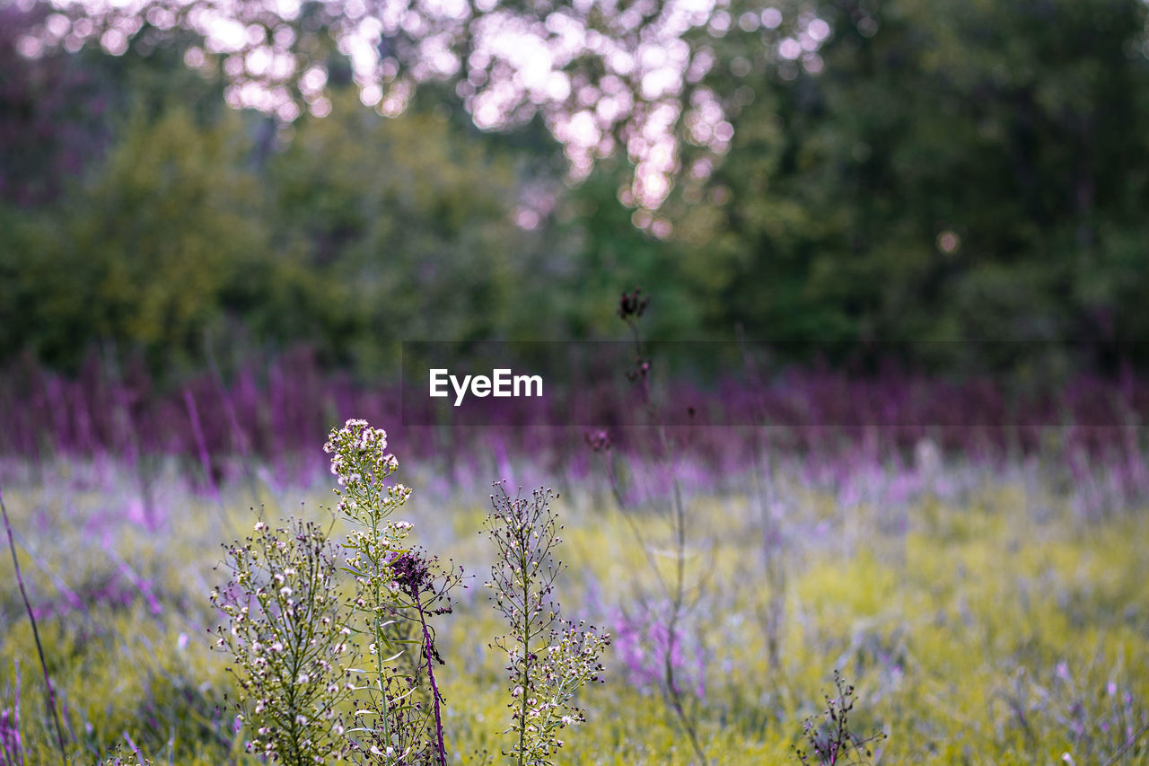 VIEW OF LAVENDER FLOWERS