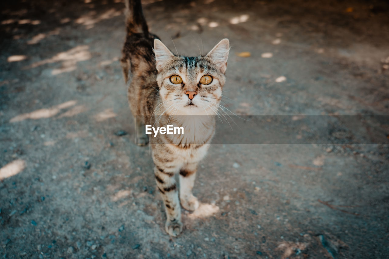 cat, domestic animals, pets, one animal, mammal, domestic, feline, domestic cat, looking at camera, portrait, vertebrate, high angle view, no people, day, standing, focus on foreground, whisker, animal eye, tabby