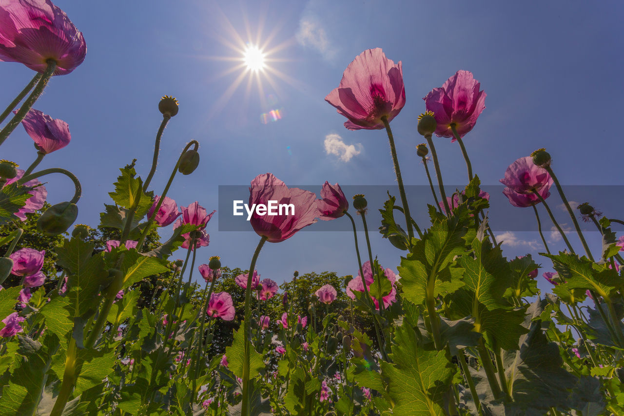 flowering plant, flower, plant, beauty in nature, growth, freshness, fragility, vulnerability, pink color, sky, petal, nature, sunlight, close-up, no people, flower head, low angle view, inflorescence, sun, plant stem, outdoors, springtime