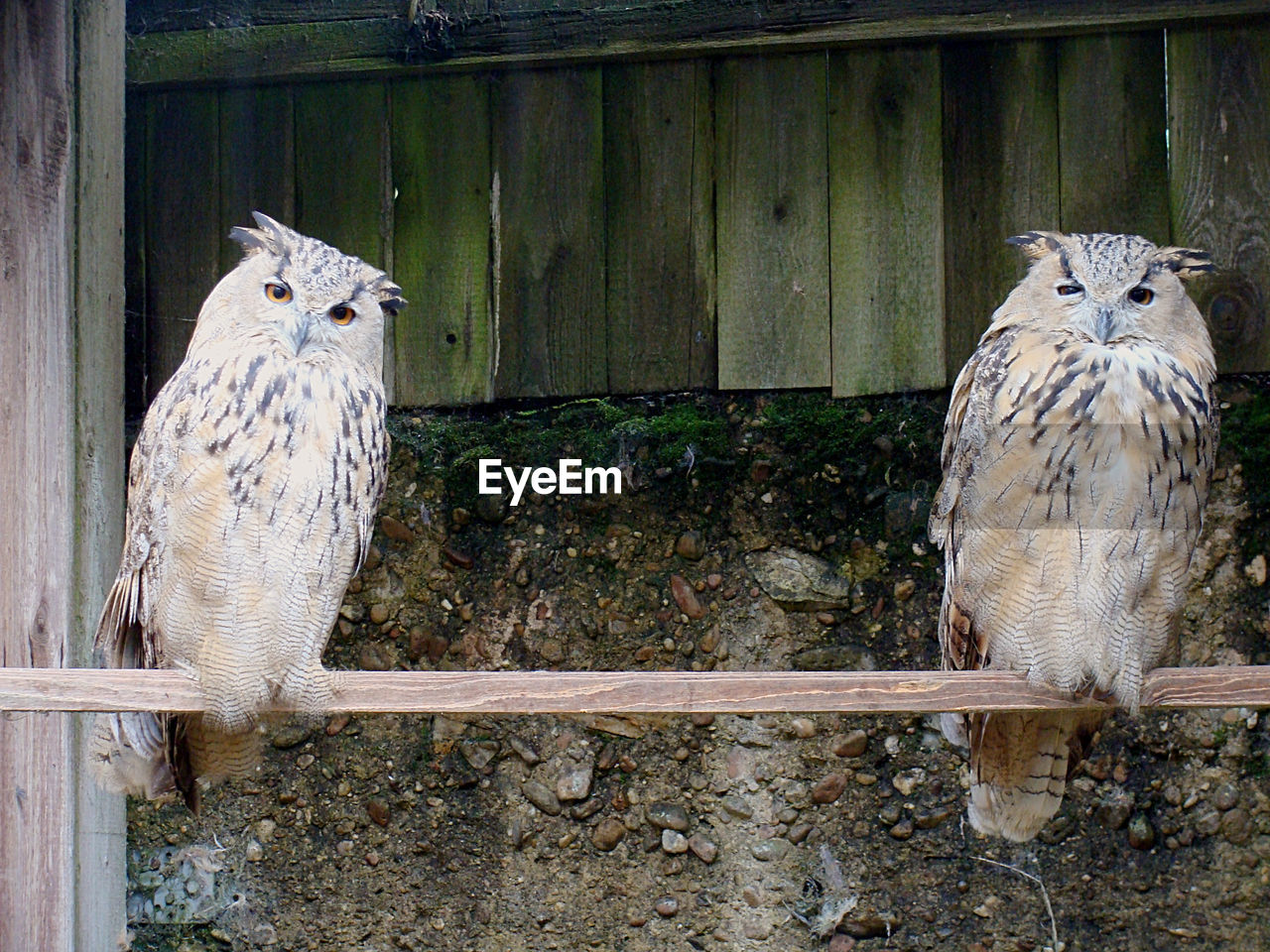 animal themes, animal, vertebrate, animal wildlife, group of animals, bird, animals in the wild, owl, wood - material, two animals, day, no people, fence, bird of prey, barrier, boundary, portrait, looking at camera, perching, nature, outdoors