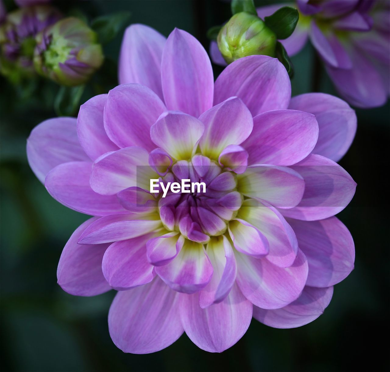 flowering plant, flower, fragility, vulnerability, petal, freshness, plant, beauty in nature, flower head, inflorescence, close-up, pink color, growth, nature, no people, focus on foreground, dahlia, day, purple, outdoors, pollen