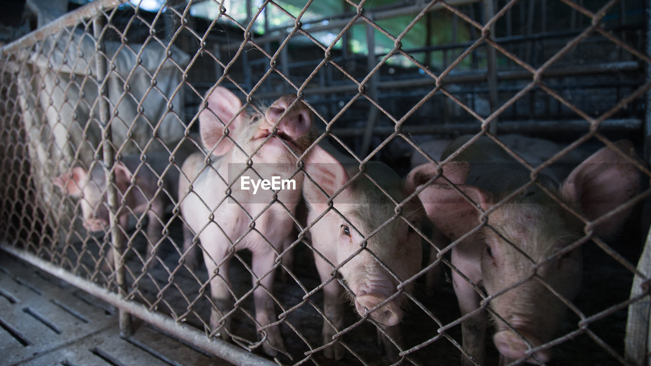 Piglets In Cage