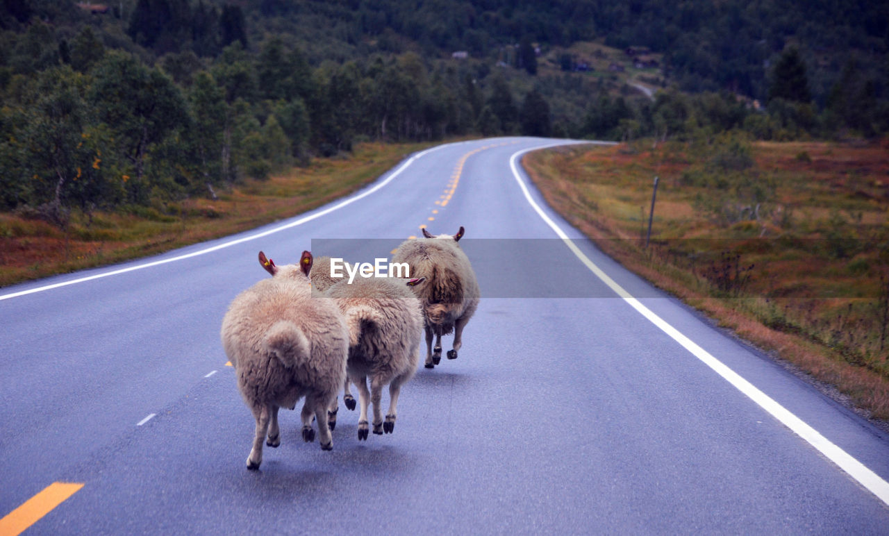 road, animal themes, mammal, domestic animals, nature, outdoors, transportation, no people, day