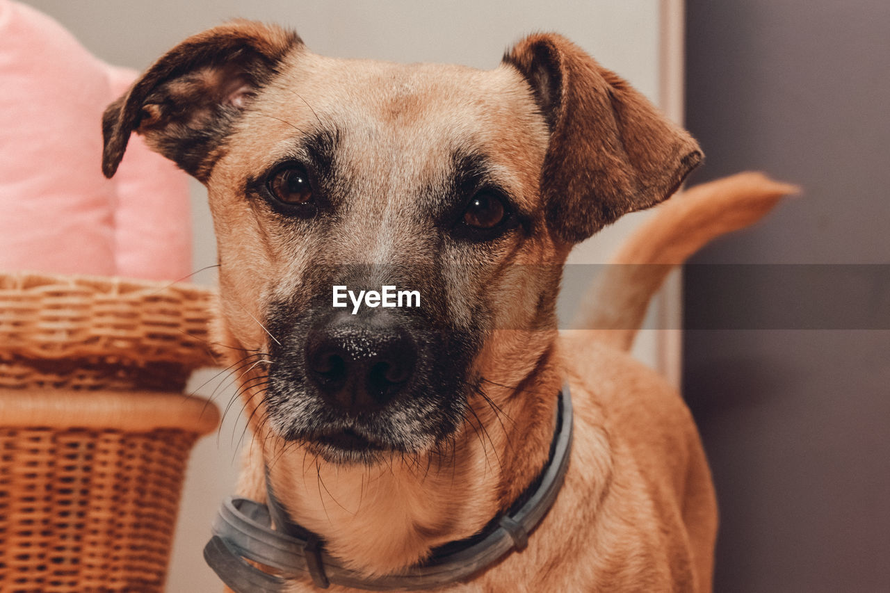 domestic, one animal, domestic animals, pets, mammal, dog, canine, vertebrate, portrait, looking at camera, indoors, focus on foreground, close-up, brown, people, animal body part, basket, jack russell terrier, animal eye