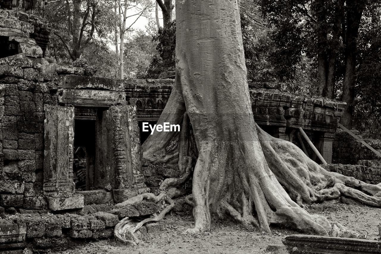 tree, plant, forest, tree trunk, trunk, land, nature, architecture, root, day, no people, built structure, growth, woodland, outdoors, tranquility, abandoned, wood - material, plant part, damaged, architectural column, ruined