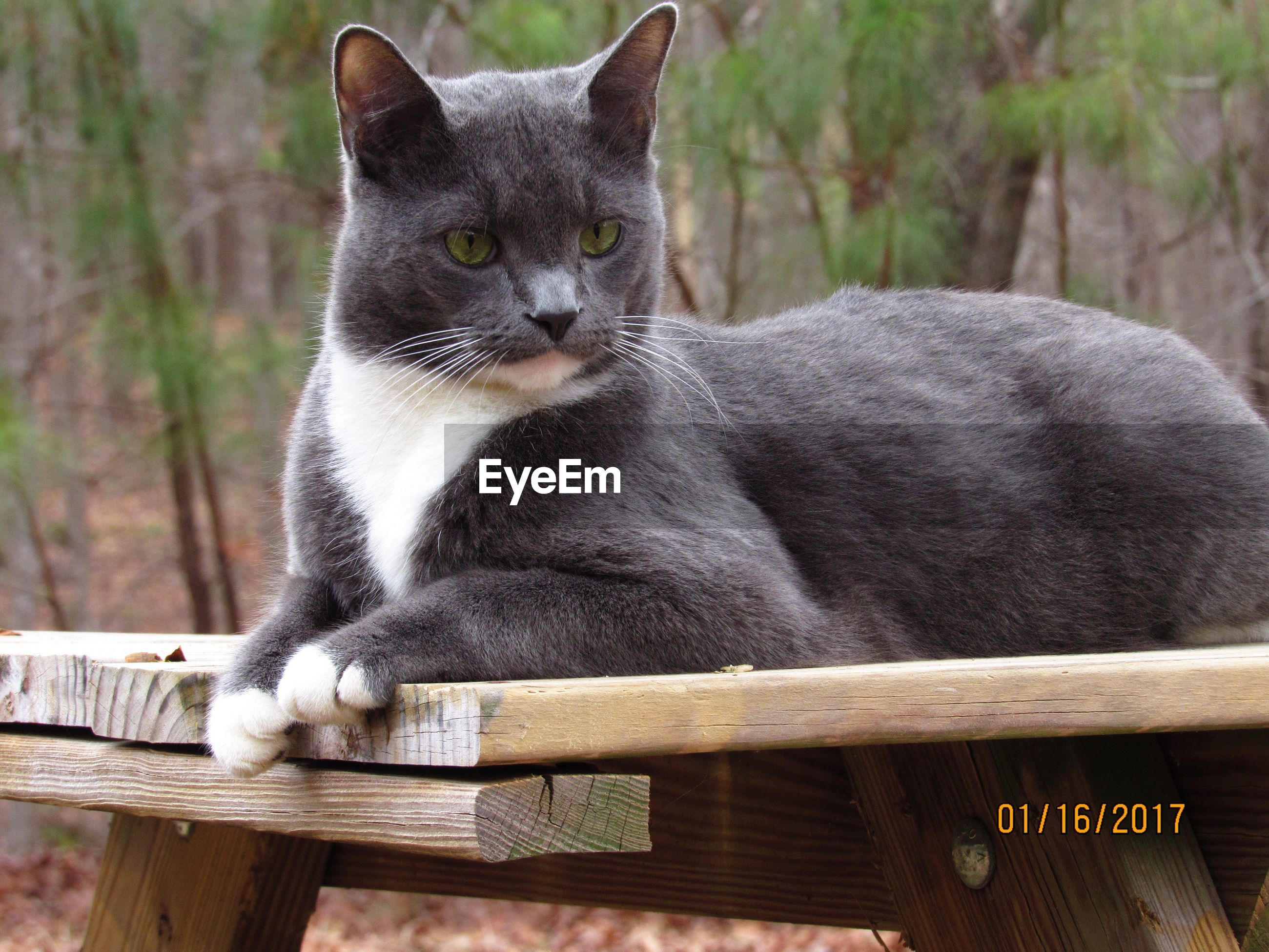 domestic cat, animal themes, one animal, domestic animals, pets, feline, wood - material, mammal, focus on foreground, day, no people, whisker, looking at camera, portrait, sitting, outdoors, close-up, nature