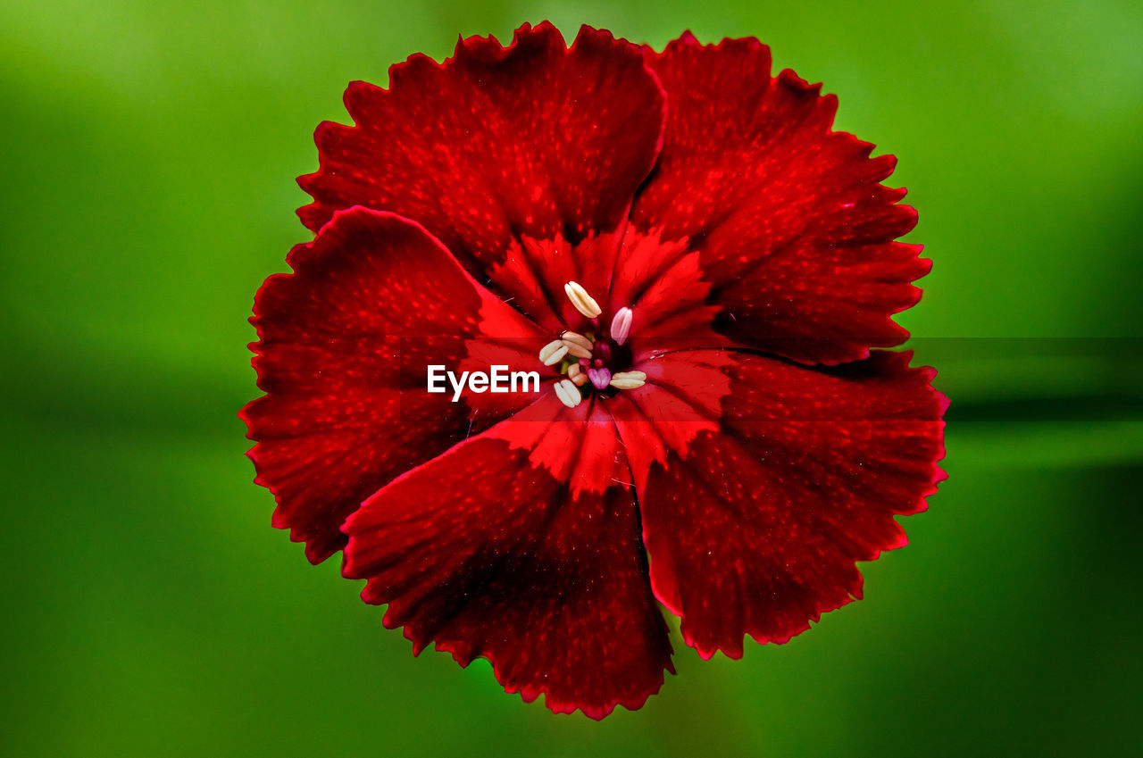 DIRECTLY ABOVE SHOT OF RED FLOWER