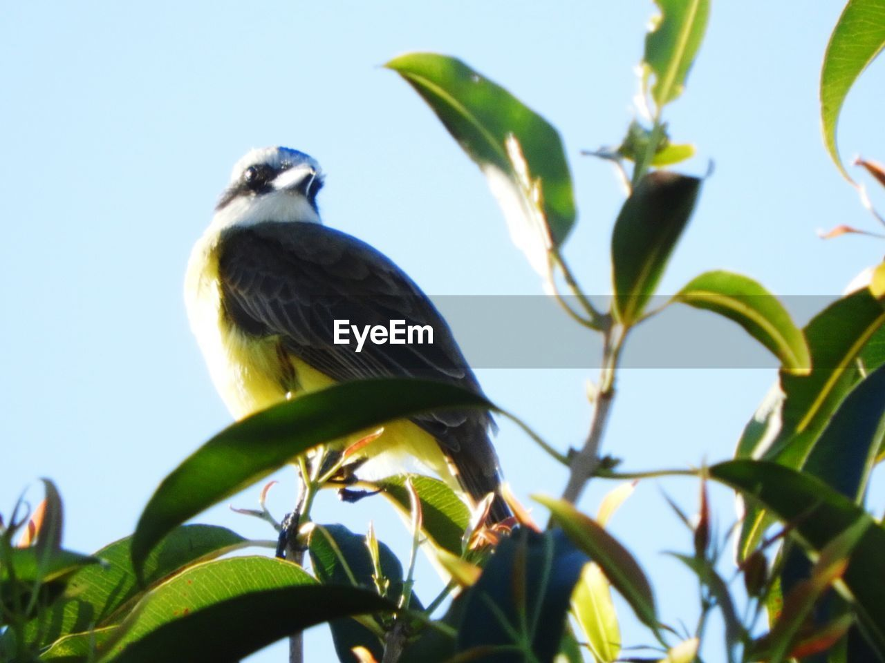 animals in the wild, bird, one animal, animal themes, leaf, animal wildlife, low angle view, perching, nature, day, clear sky, tree, branch, outdoors, no people, green color, plant, beauty in nature, sky, beak, close-up