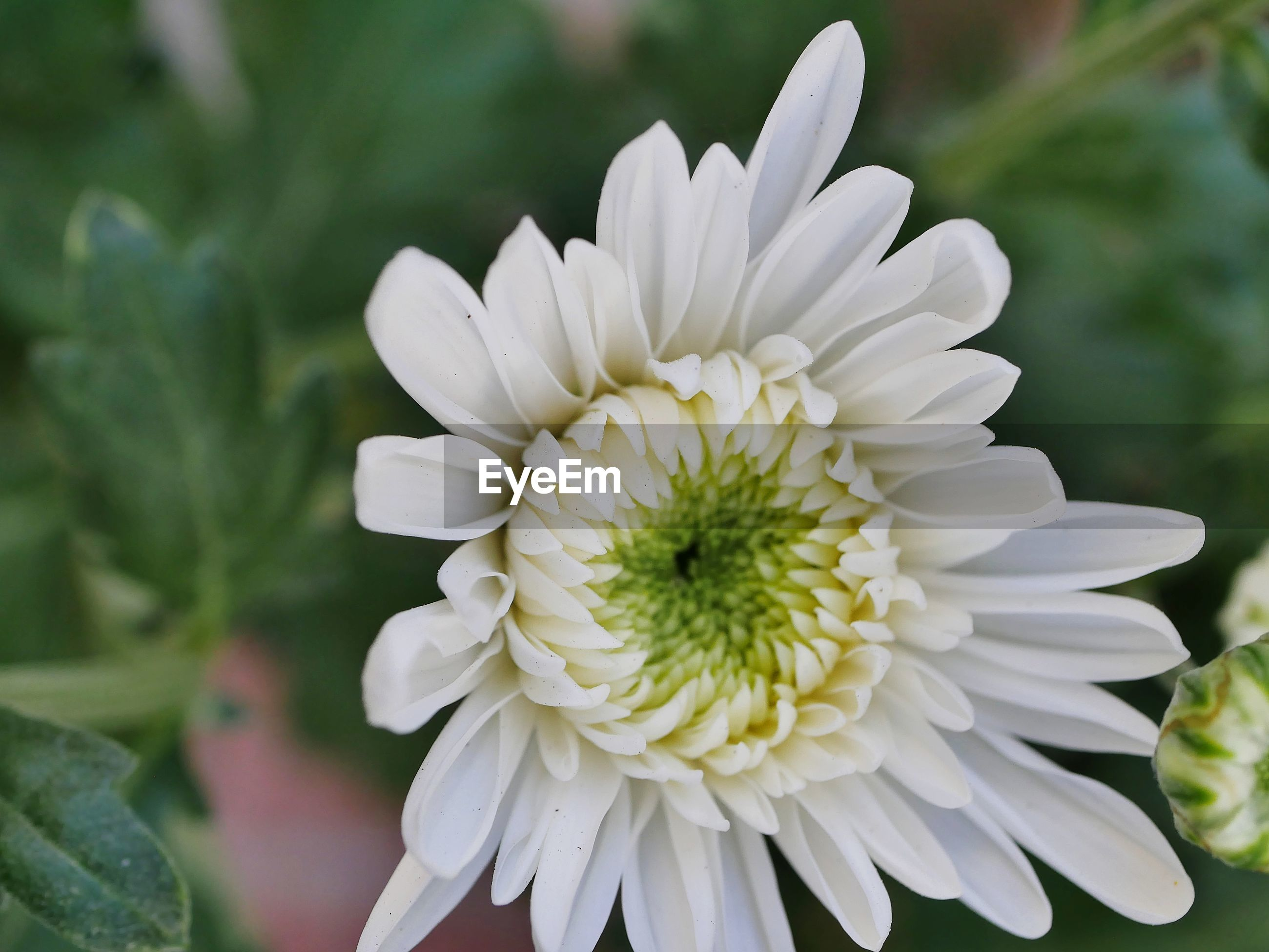 Close-up of white dahlia