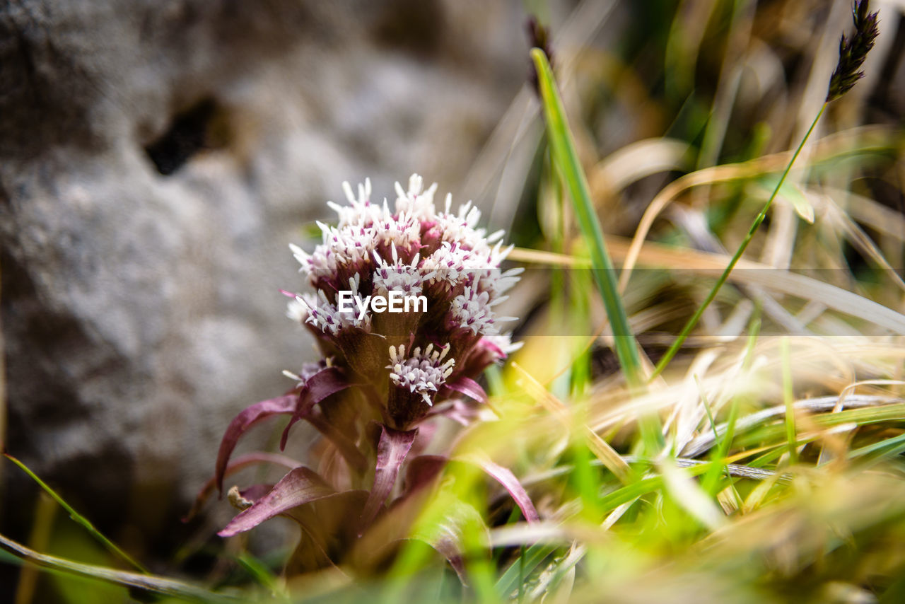 flower, flowering plant, plant, beauty in nature, growth, vulnerability, fragility, freshness, selective focus, close-up, nature, petal, flower head, no people, day, inflorescence, land, field, outdoors, botany, purple
