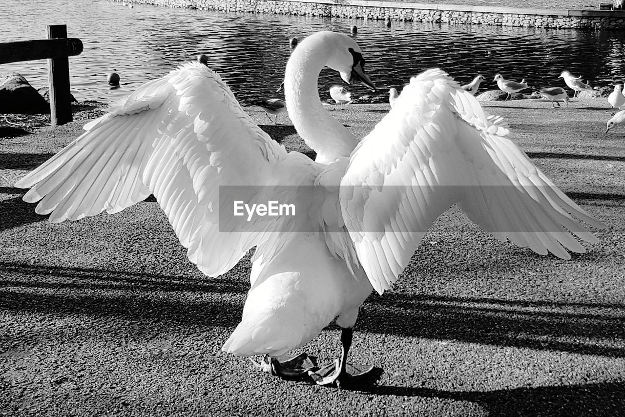 bird, animal themes, animals in the wild, white color, day, animal wildlife, spread wings, swan, outdoors, lake, water, no people, nature, close-up