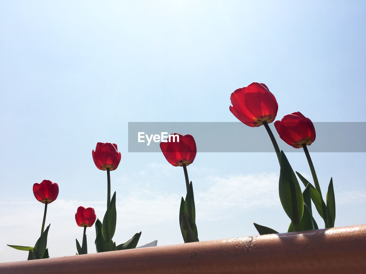 Low Angle View Of Red Tulips Growing Against Sky