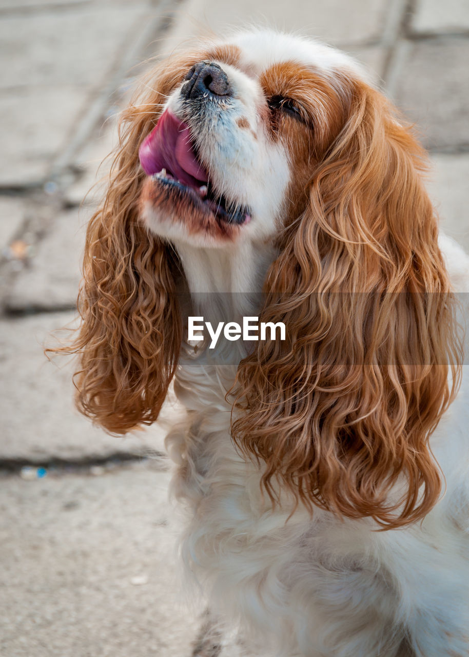 Close-up of spaniel dog with sticking out tongue