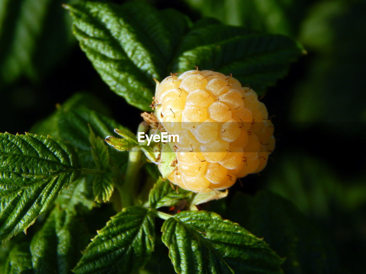 plant, growth, close-up, focus on foreground, leaf, green color, freshness, plant part, no people, nature, beauty in nature, food, day, healthy eating, yellow, food and drink, outdoors, fruit, wellbeing, tree