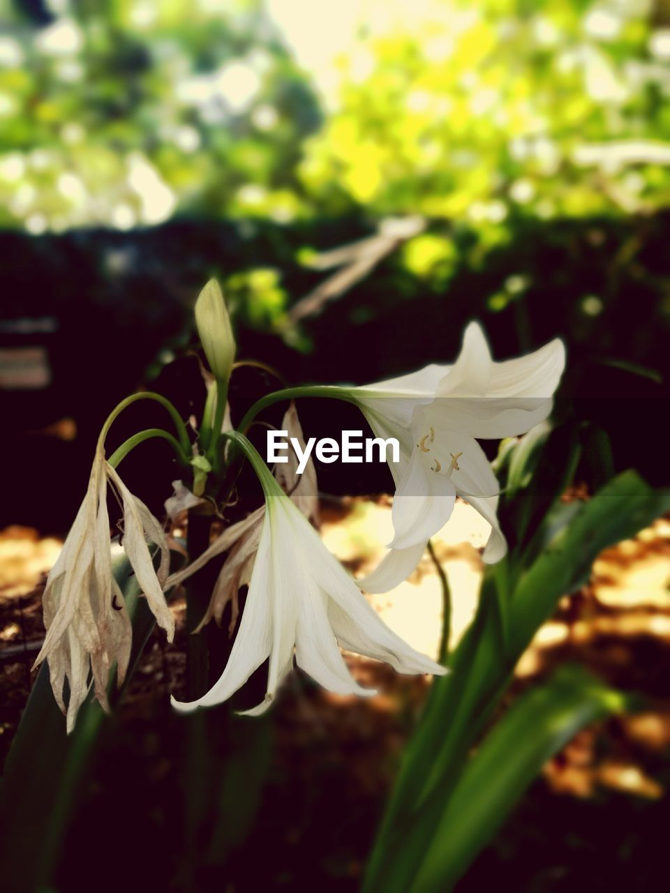 white color, flower, growth, nature, fragility, petal, beauty in nature, plant, freshness, no people, close-up, flower head, outdoors, day