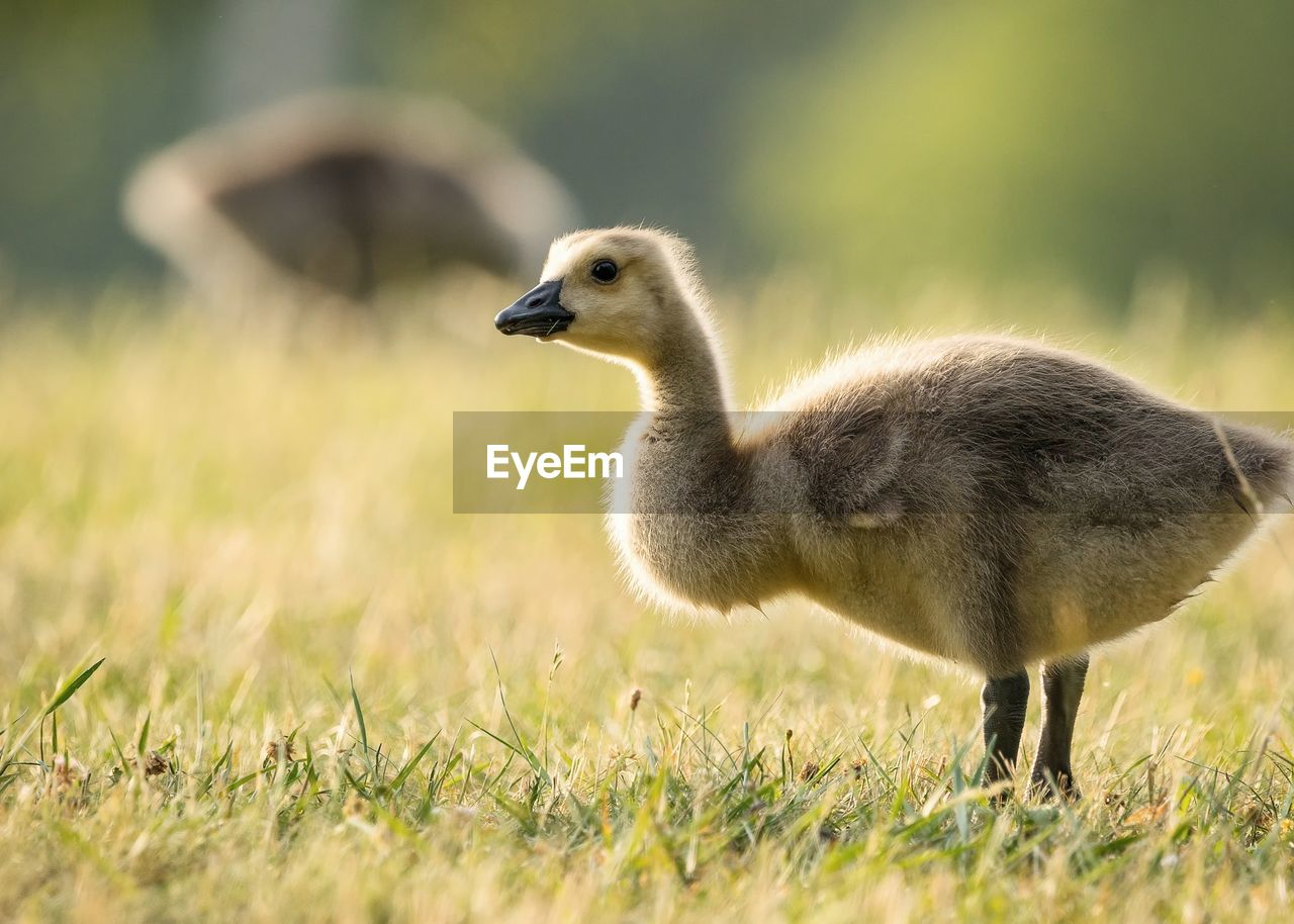 animal themes, animal, animals in the wild, animal wildlife, vertebrate, bird, one animal, goose, young bird, young animal, gosling, nature, grass, plant, side view, no people, day, selective focus, field, land, outdoors, profile view