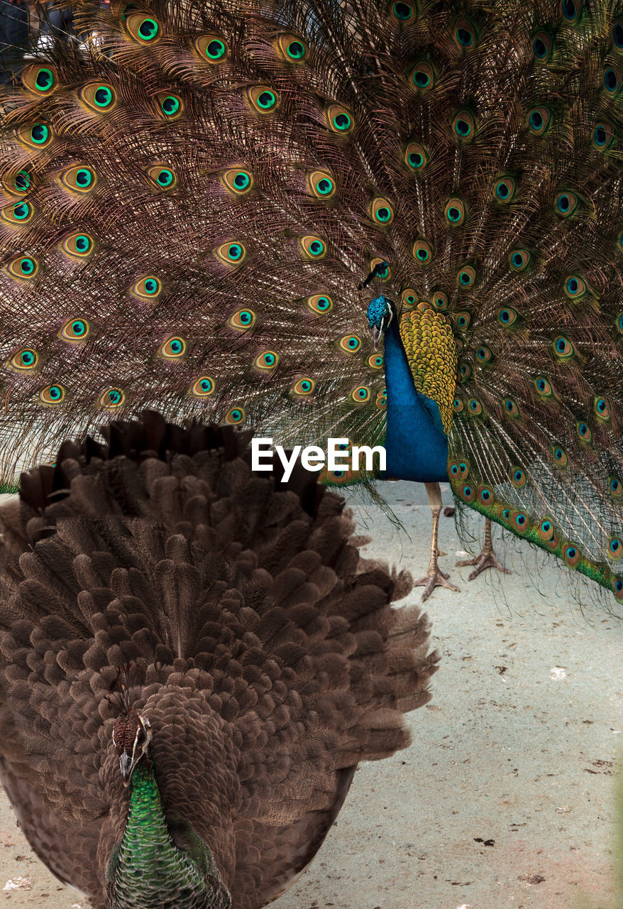 bird, peacock, animal themes, animal wildlife, animals in the wild, animal, vertebrate, feather, one animal, fanned out, no people, peacock feather, day, nature, beauty in nature, close-up, natural pattern, male animal, outdoors, animal body part, mouth open