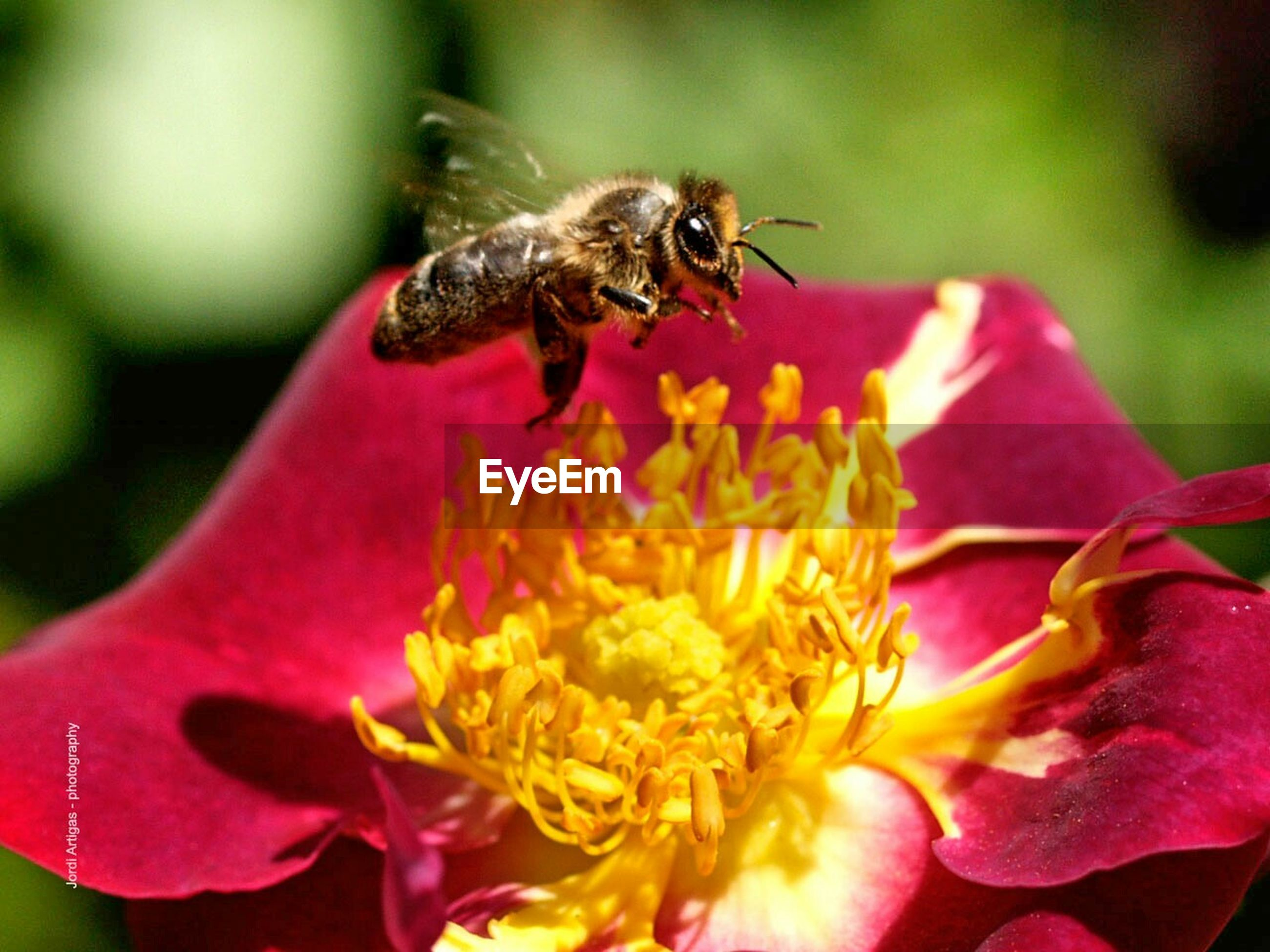 one animal, flower, animal themes, animals in the wild, petal, wildlife, focus on foreground, freshness, insect, pink color, close-up, flower head, fragility, beauty in nature, pollination, nature, bee, growth, selective focus, red