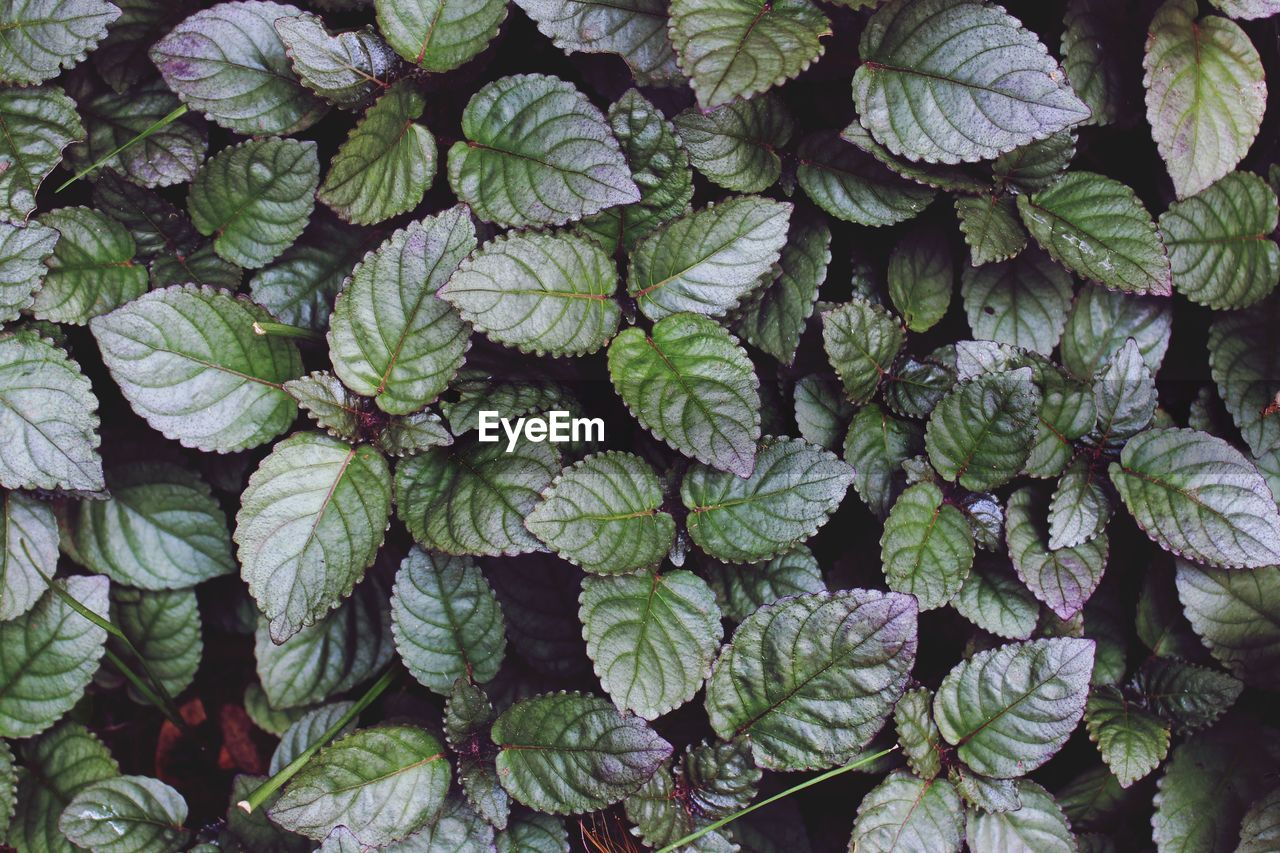 Red flame ivy or tincher or hemigraphis or murikooti