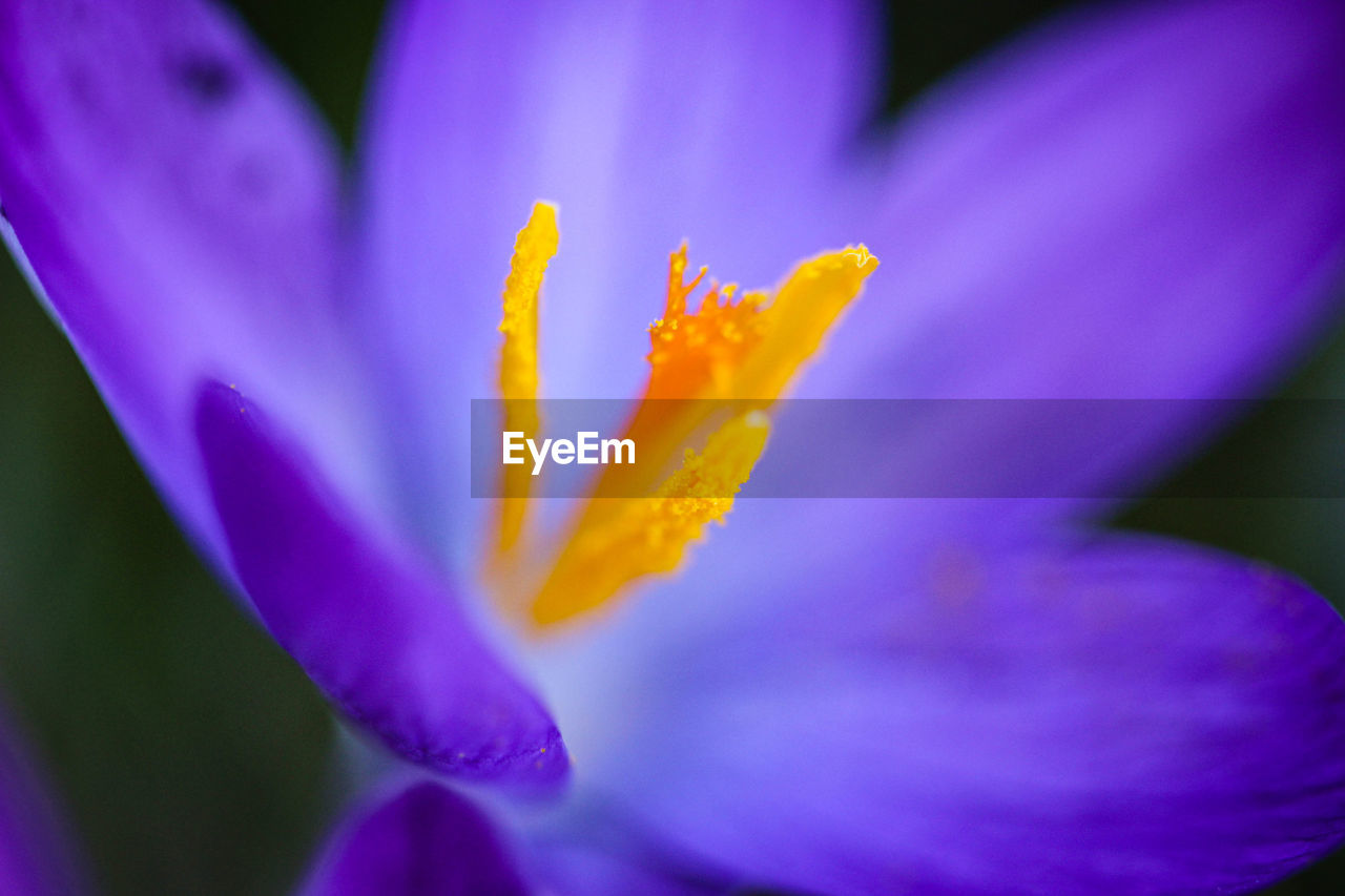 flowering plant, flower, petal, vulnerability, beauty in nature, plant, fragility, freshness, growth, flower head, inflorescence, close-up, purple, pollen, no people, nature, selective focus, day, iris, crocus