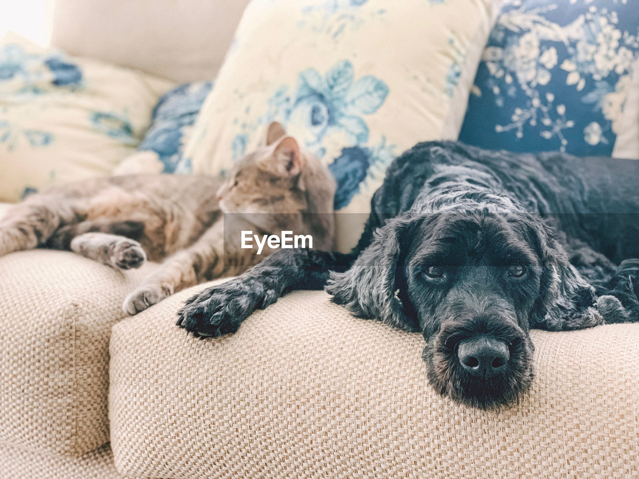Portrait of dog and cat resting on sofa